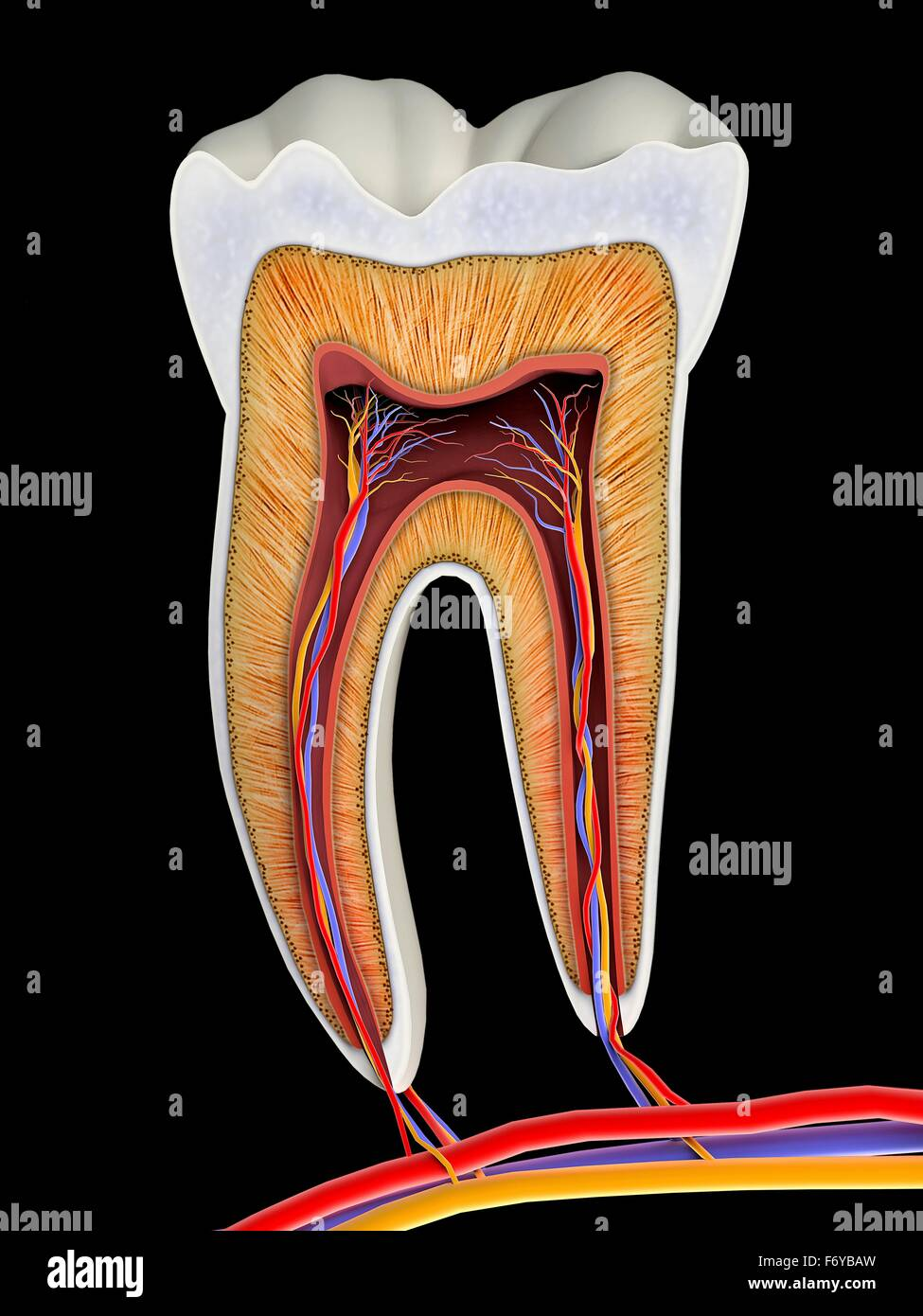 Molar tooth cross-section, artwork. The upper (biting ...