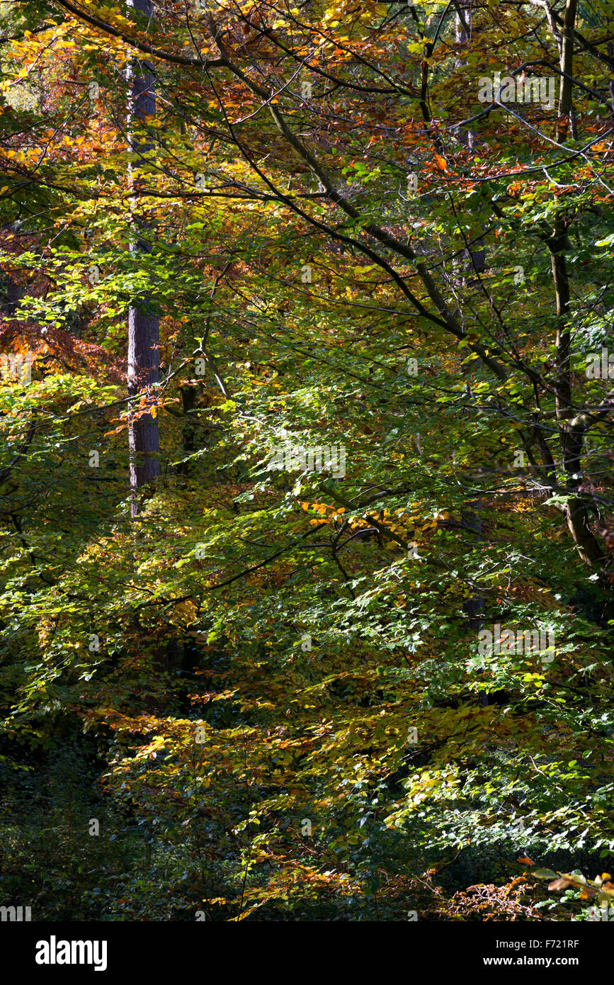 Beech trees with colours changing to autumn hues. Trees in Erncroft ...