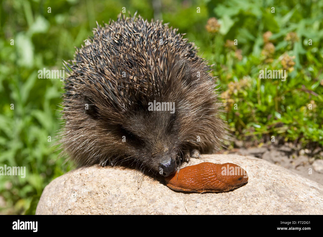 western hedgehog european hedgehog with slug europ ischer igel stock photo royalty free. Black Bedroom Furniture Sets. Home Design Ideas