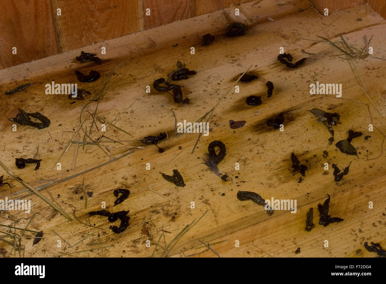 western polecat european polecat dirt excrement faeces iltis stock photo royalty free. Black Bedroom Furniture Sets. Home Design Ideas