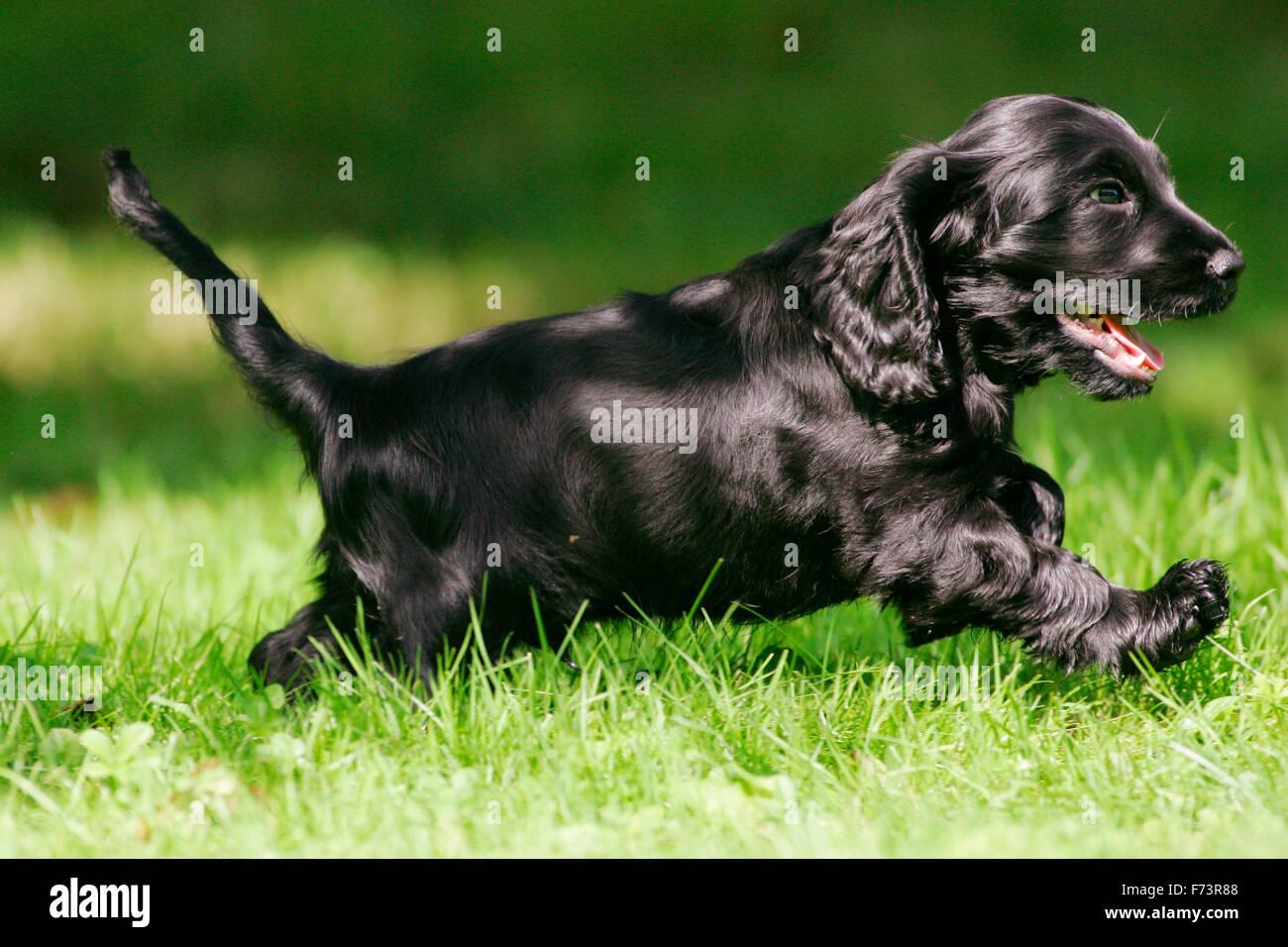 english cocker spaniel black puppy running on a lawn