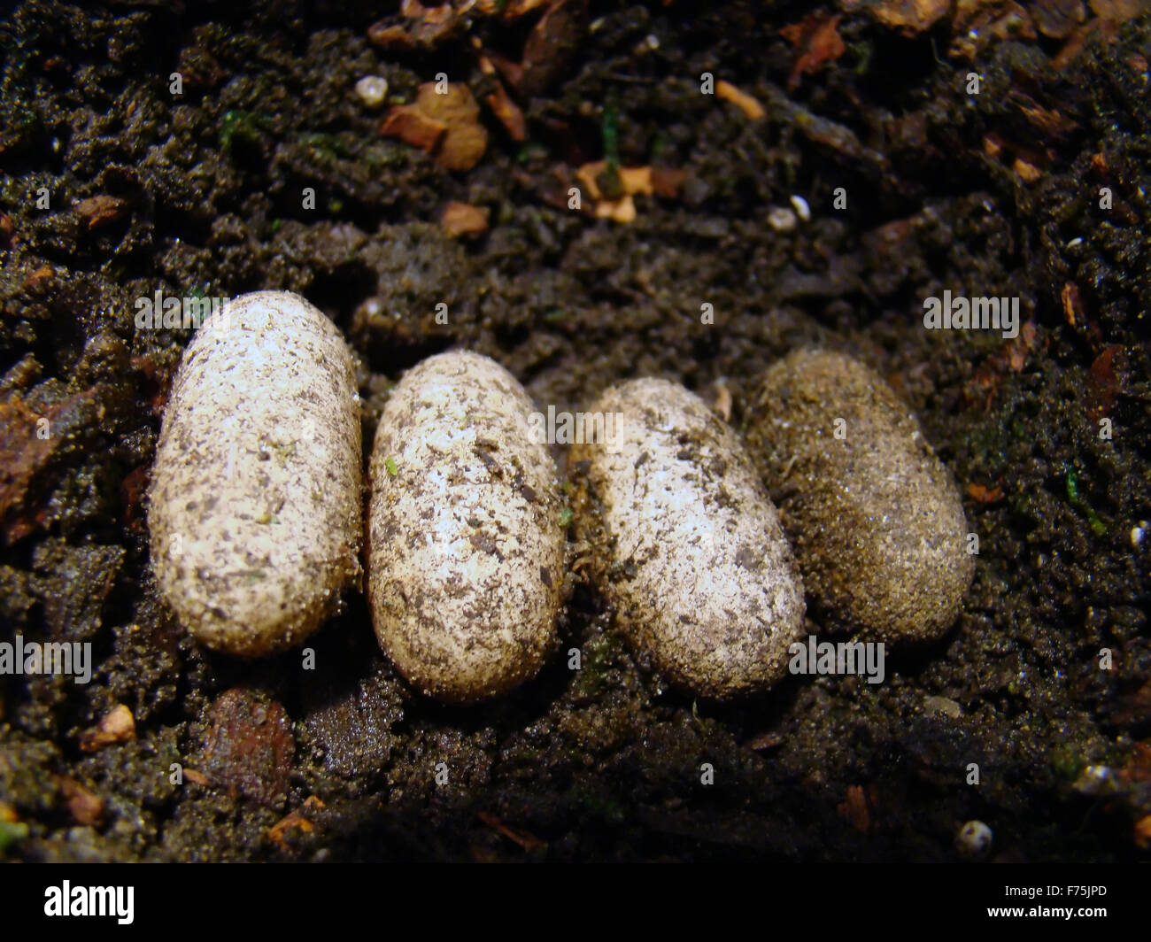 Gecko Eggs Stock Photo Royalty Free Image 90478933 Alamy
