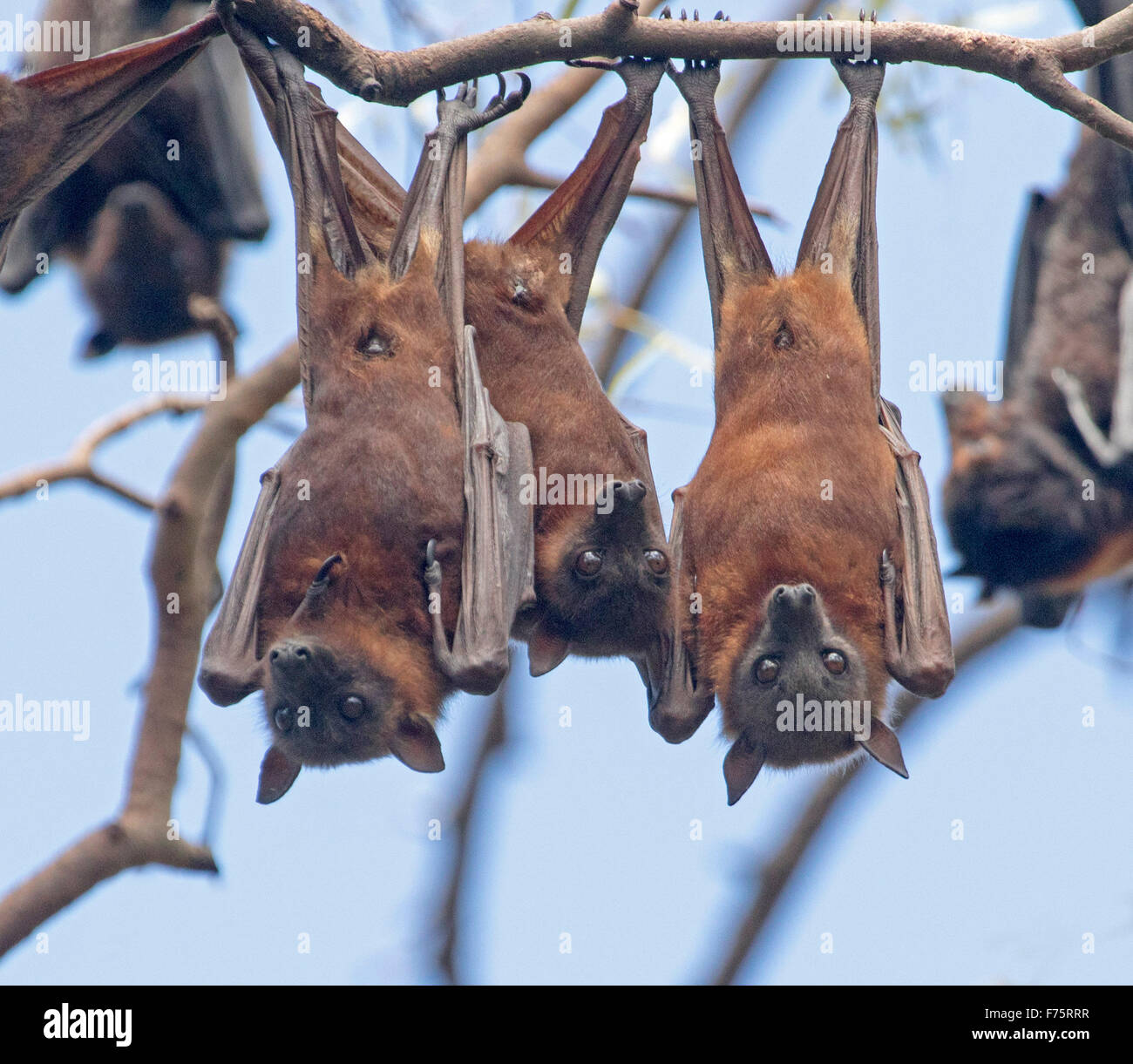 Group of grey headed fruit bats flying foxes pteropus for Hanging groups of pictures
