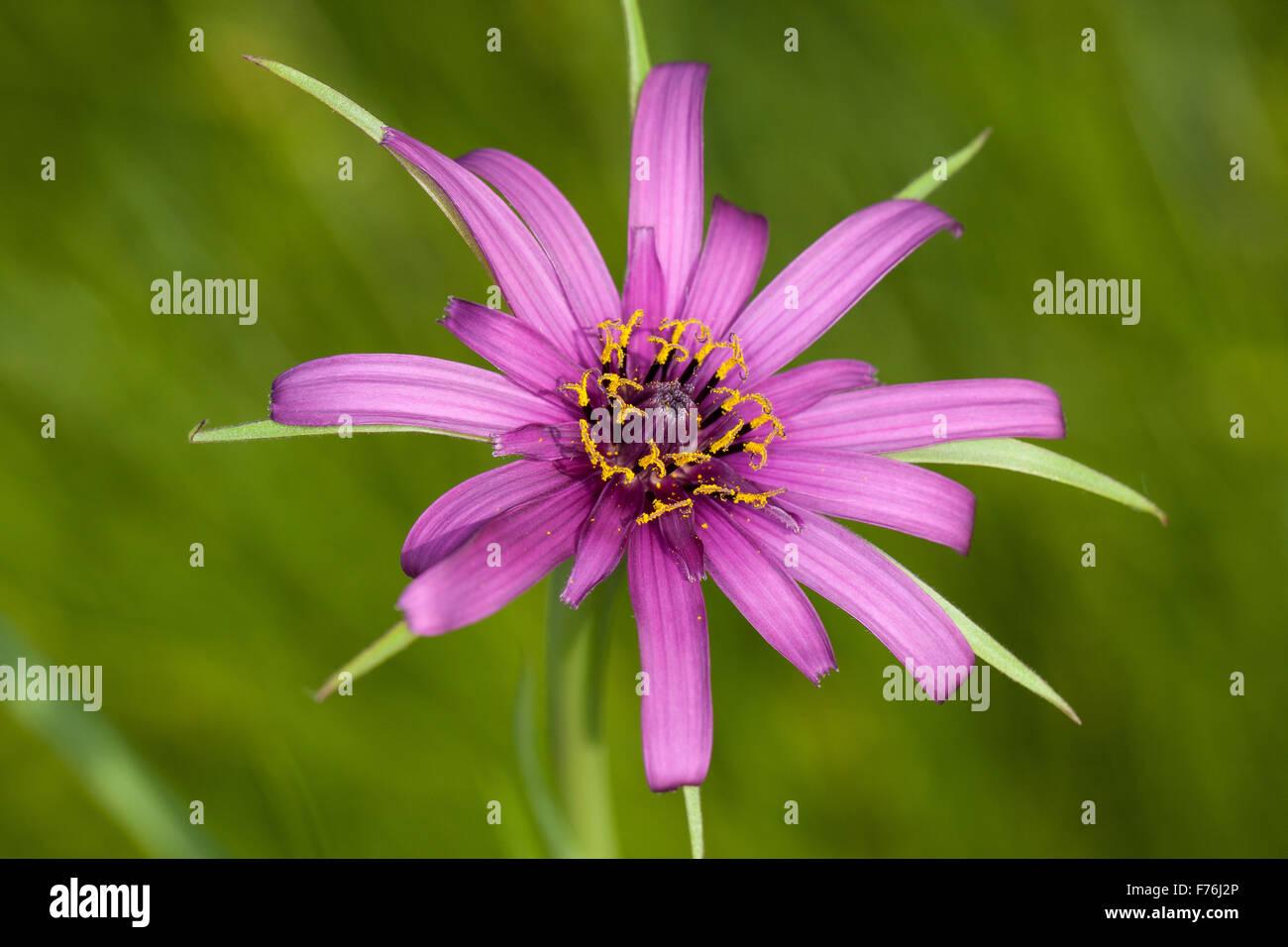 purplesalsify9.jpg