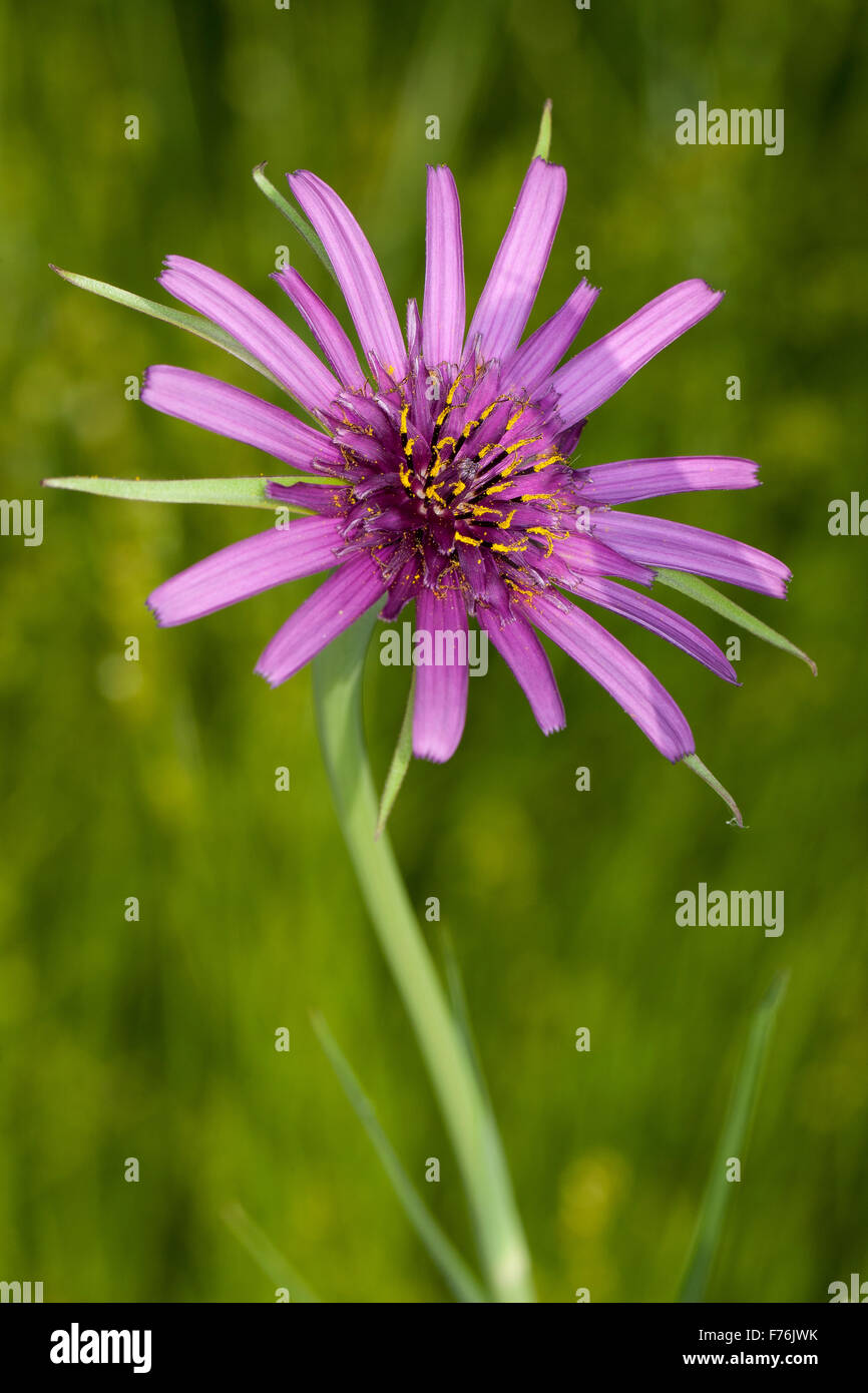 Alien asters: salsify and chicory   Notes on ethnobotany in ...