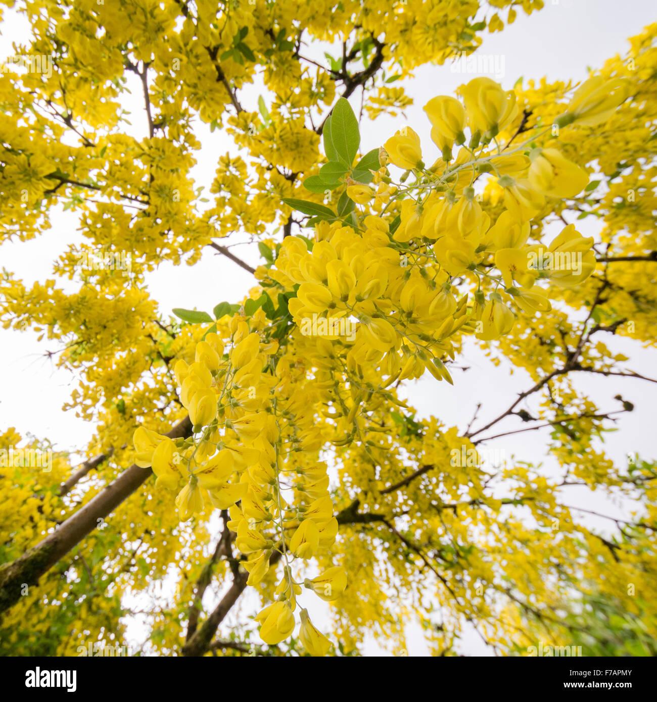 Common Yellow Garden Flowers common laburnum tree in uk garden - standing underneath looking up