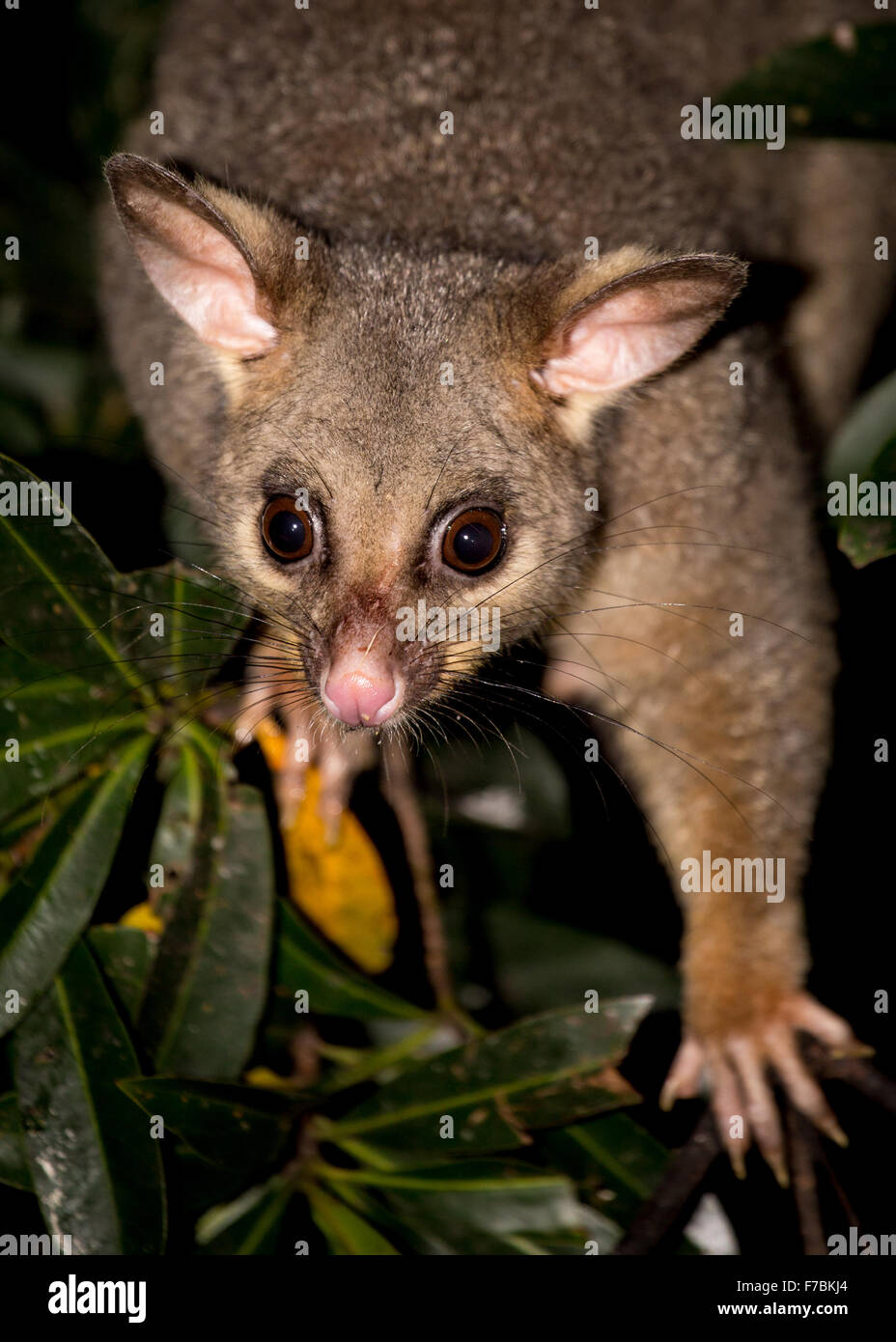 brushtail possum stock photos u0026 brushtail possum stock images alamy