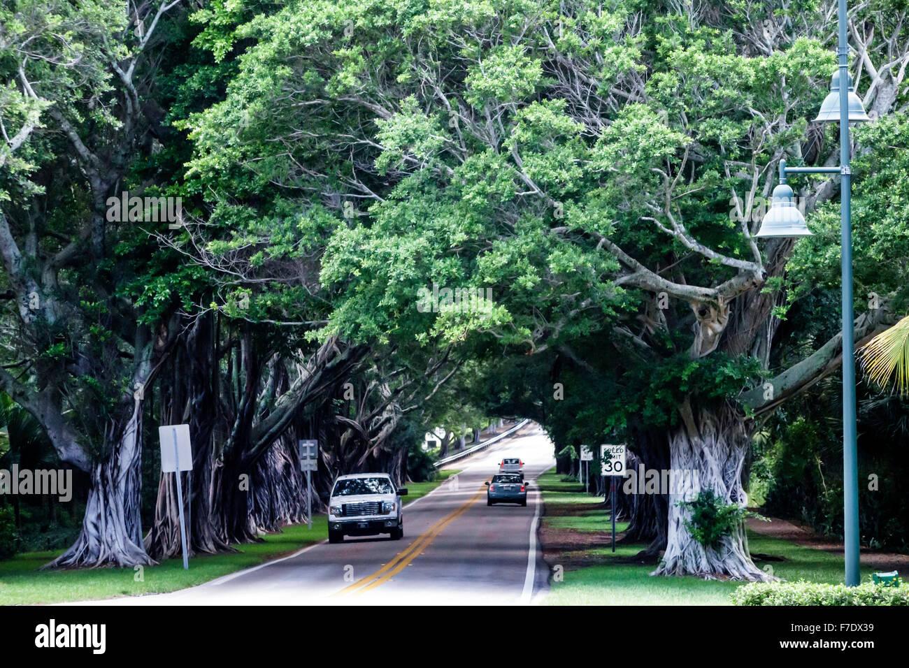 Florida Hobe Sound SE Bridge Road banyan trees canopy & Florida Hobe Sound SE Bridge Road banyan trees canopy Stock Photo ...