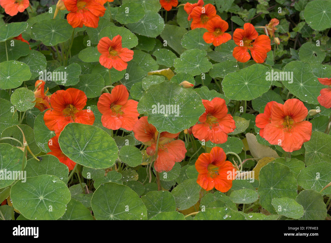 nasturtium capucine gro e kapuzinerkresse echte kapuziner kresse stock photo royalty free. Black Bedroom Furniture Sets. Home Design Ideas