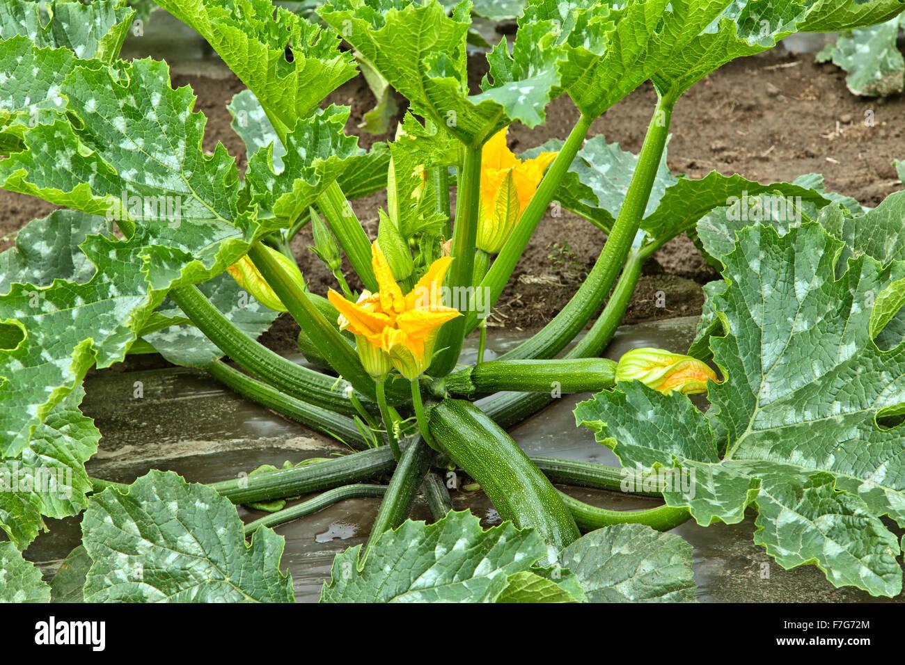 zucchini ernten gelbe zucchini werden geerntet friedrichs gartenjahr zucchini pflanzen pflegen. Black Bedroom Furniture Sets. Home Design Ideas