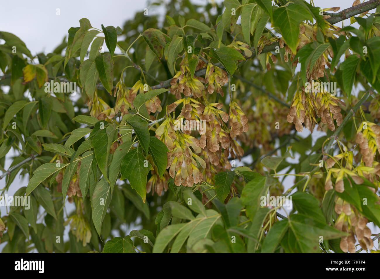 Box Elder Boxelder Maple Ash Leaved Maple Eschen Ahorn