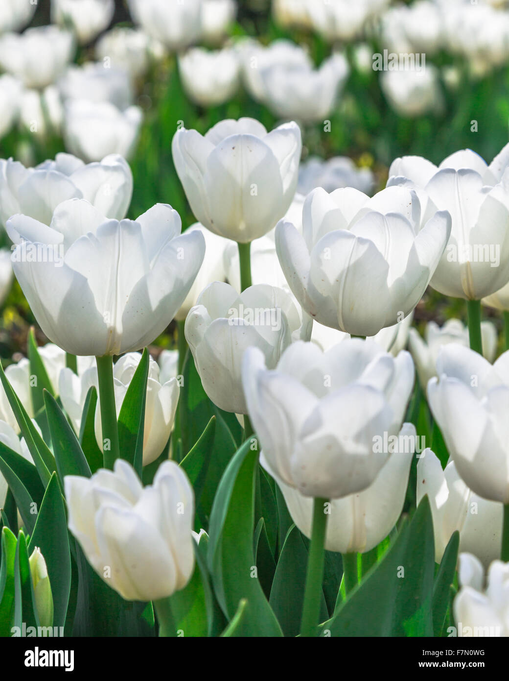 White tulip flowers tulipa lilioideae stock photos white tulip white tulip flowers tulipa lilioideae stock image dhlflorist Image collections