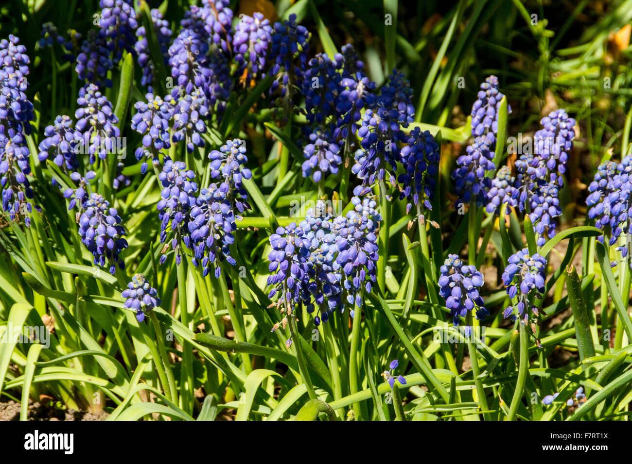 First blue springs flowers muscari stock photo royalty free image first blue springs flowers muscari mightylinksfo