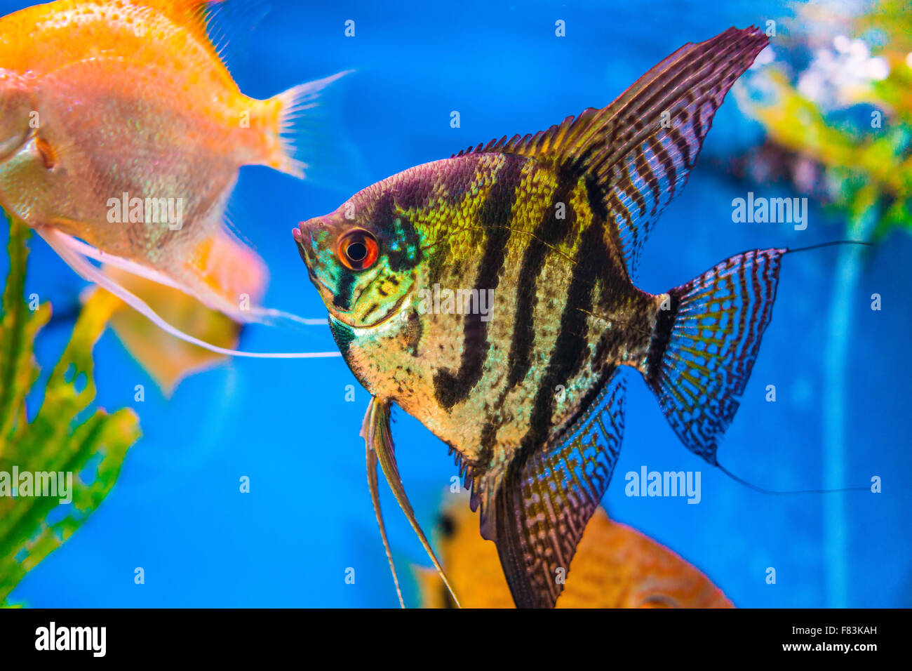 Black and yellow freshwater aquarium fish - Marbled Black And Yellow Long Finned Angel Fish Stock Photo