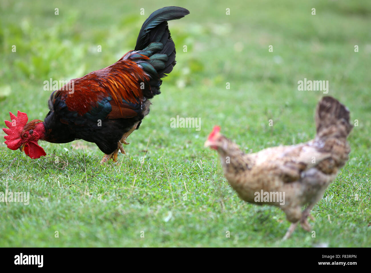 rooster wing stock photos u0026 rooster wing stock images alamy