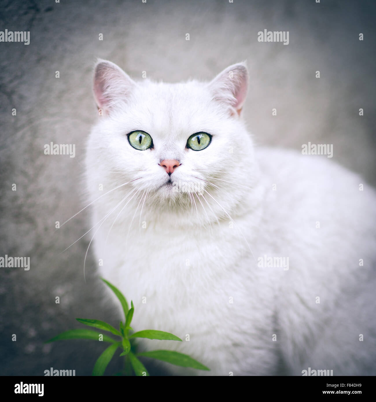 white silver shaded british shorthair cat with green eyes Stock