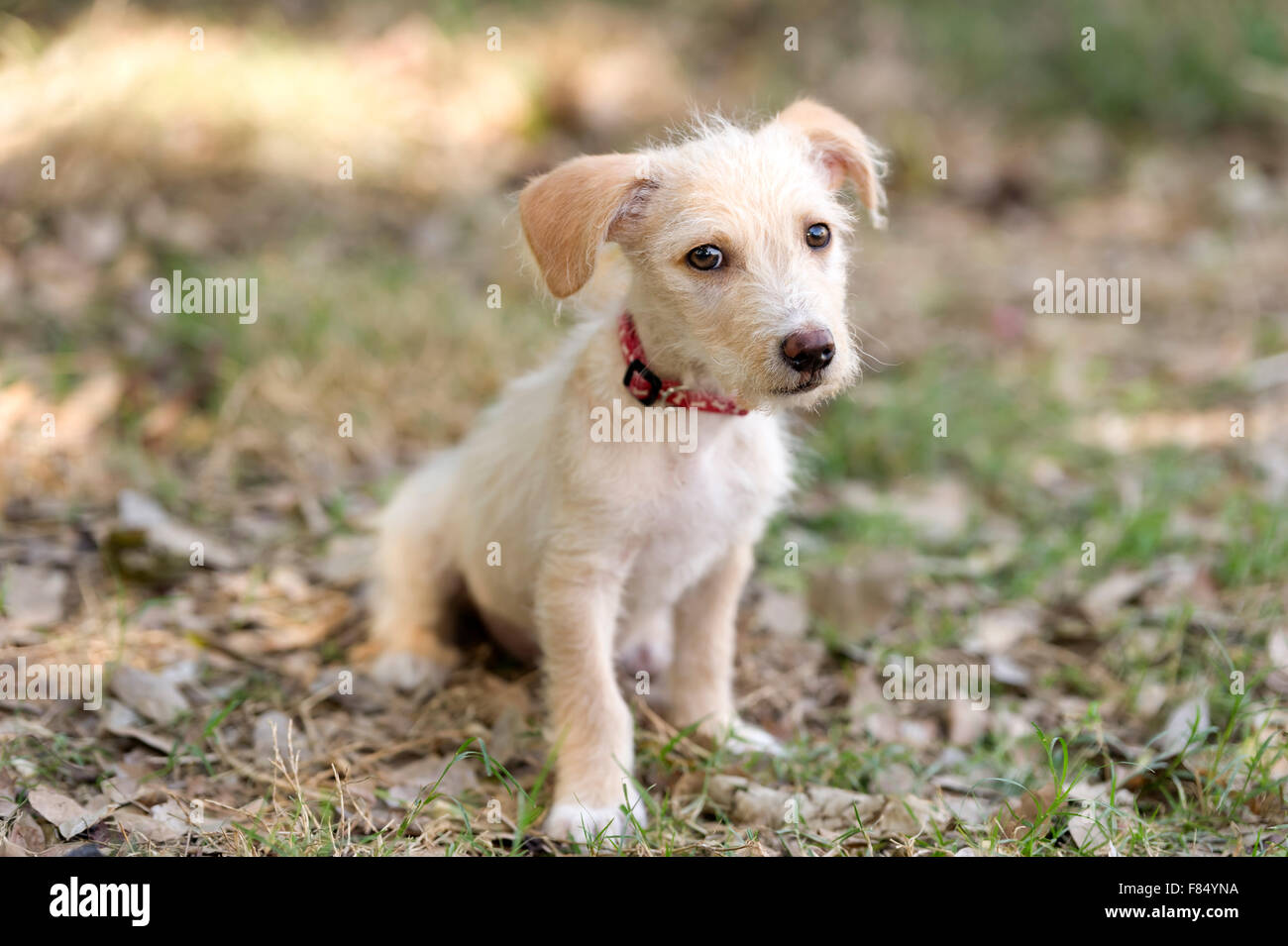 Cute puppy dog is a very cute beige puppy looking as adorable as a