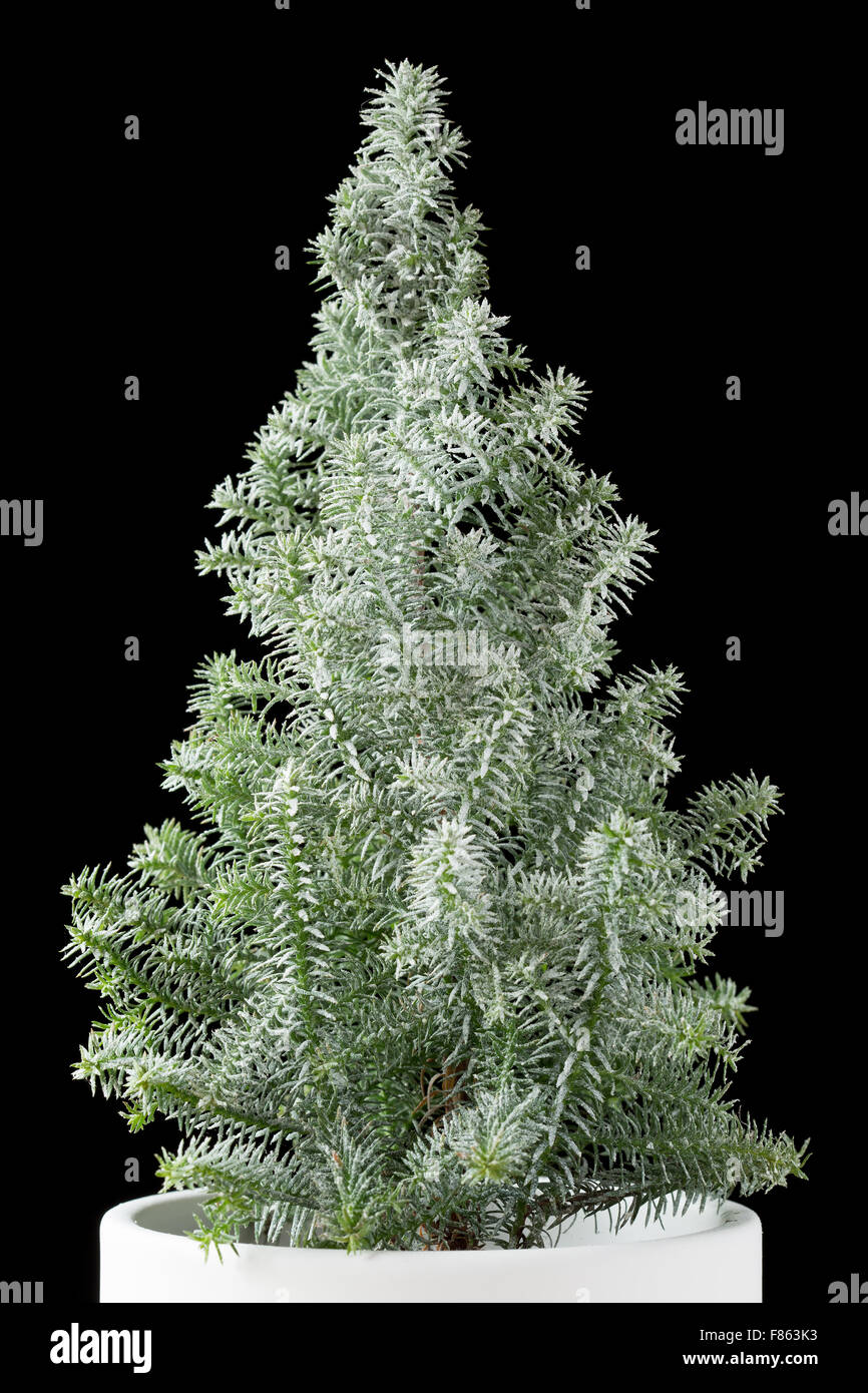 Miniature christmas tree in a white pot on black Stock Photo ...