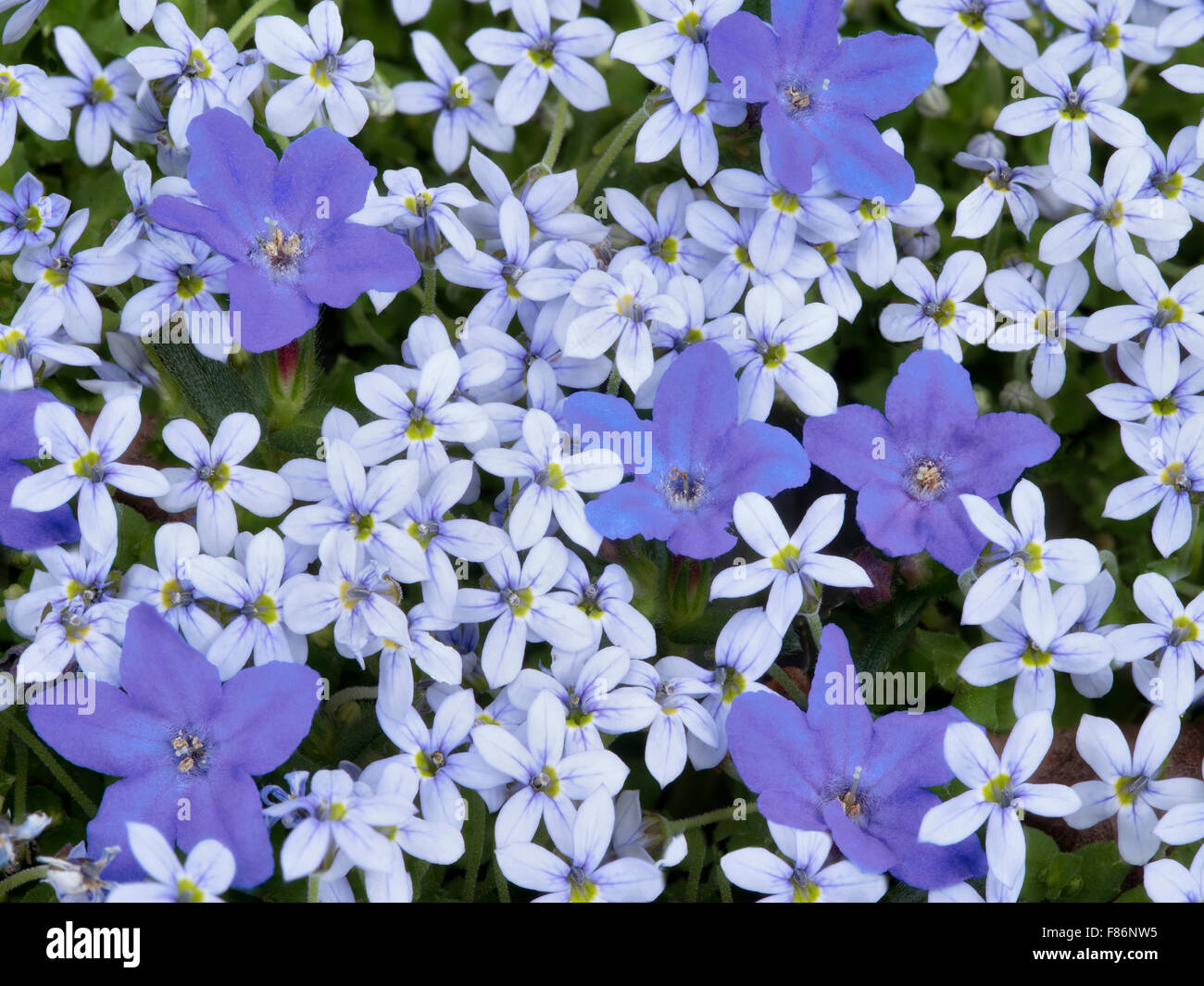 ground cover flower stock photos  ground cover flower stock, Beautiful flower