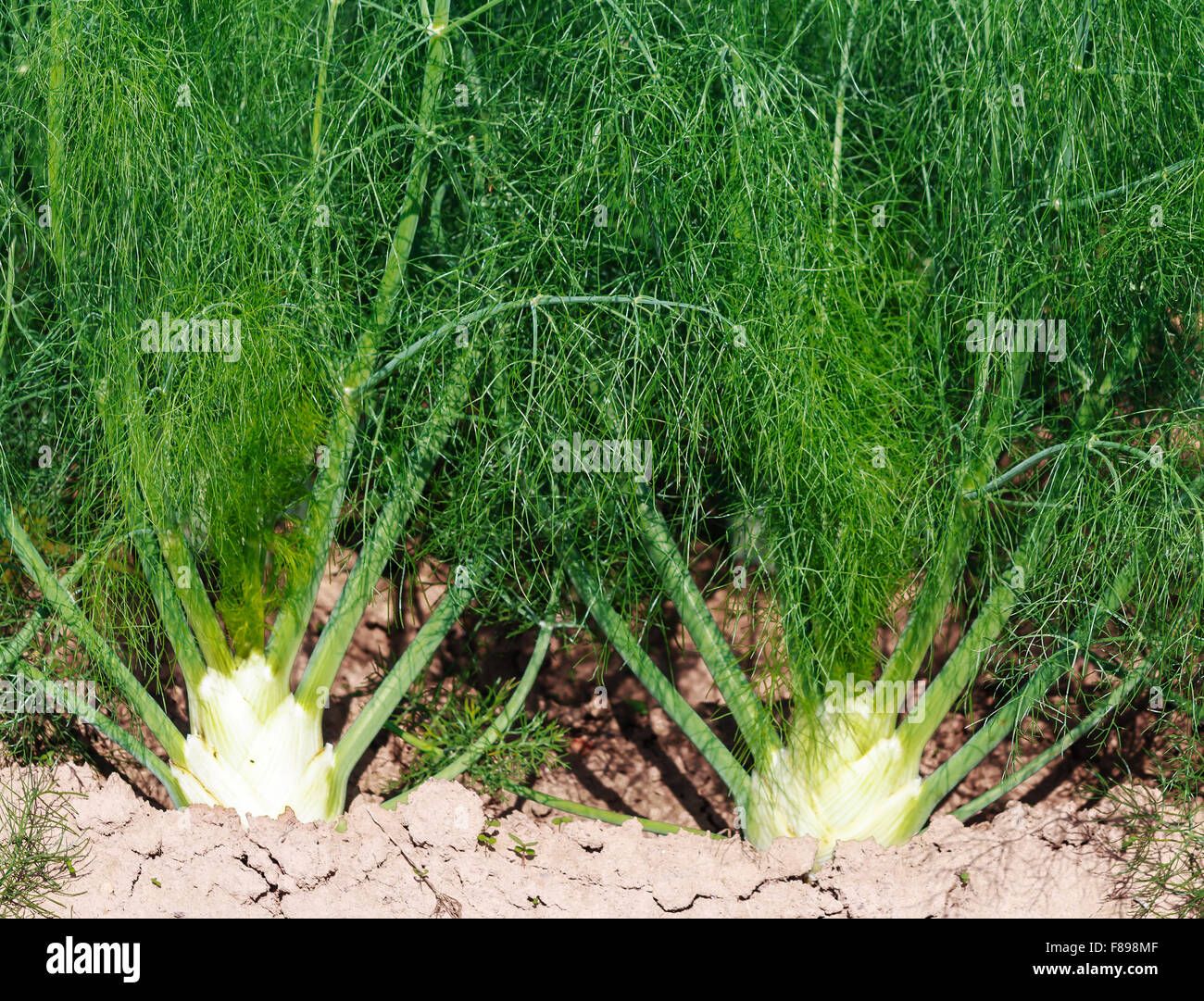 Young fennel plants before harvest Stock Photo, Royalty Free Image ...