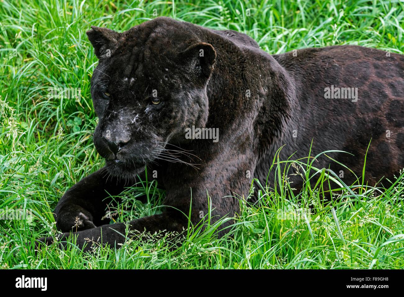 Close Up Portrait Of Black Panther Melanistic Jaguar