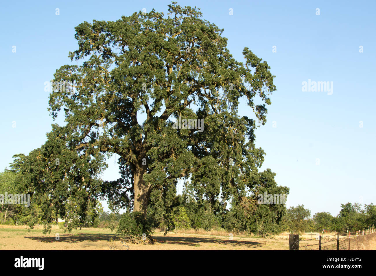 oak-tree-in-the-very-dry-central-valleys