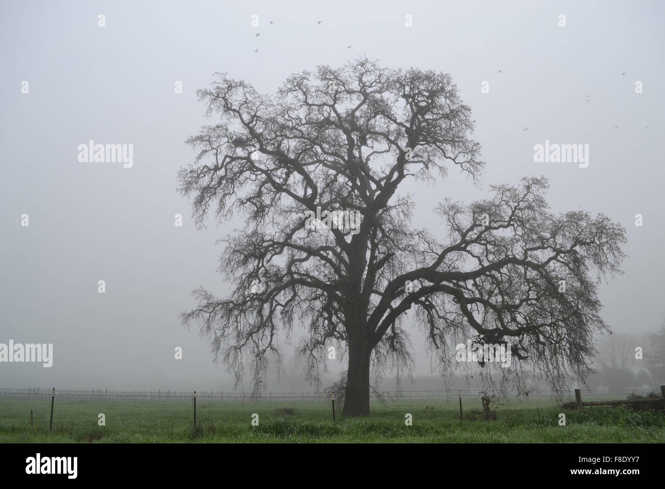 quercus-californicus-in-the-winter-of-ca