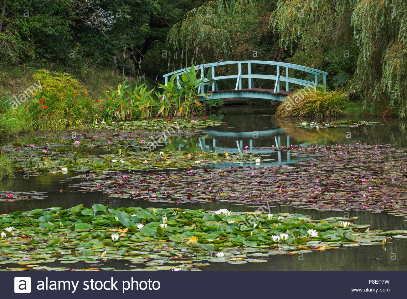 Water Lilies Nymphaea With Japanese Style Wooden Bridge