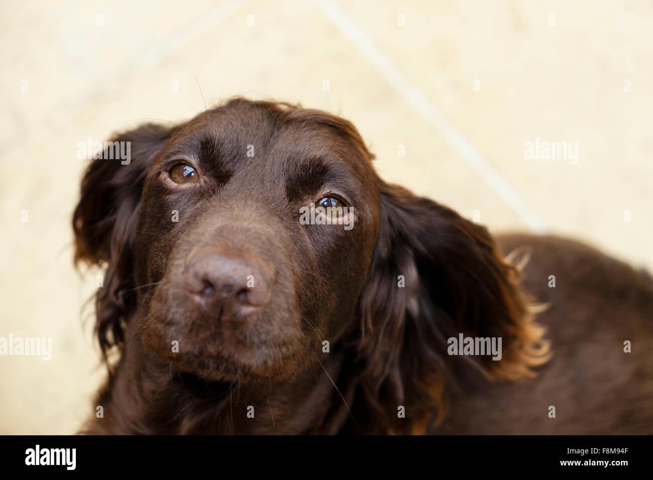 Chocolate brown (liver) English Cocker Spaniel pet dog ...