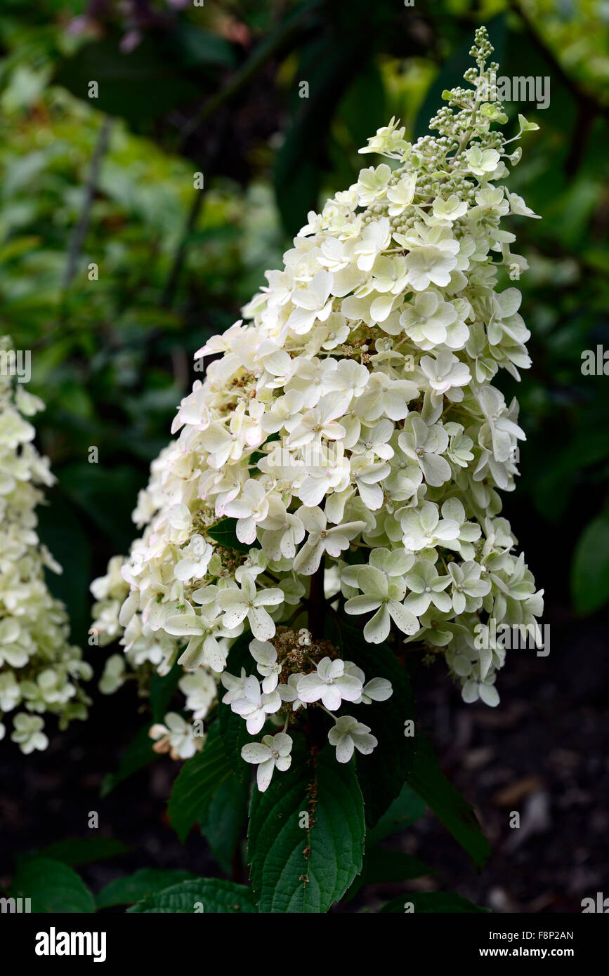 hydrangea paniculata limelight flowers flowering flower. Black Bedroom Furniture Sets. Home Design Ideas