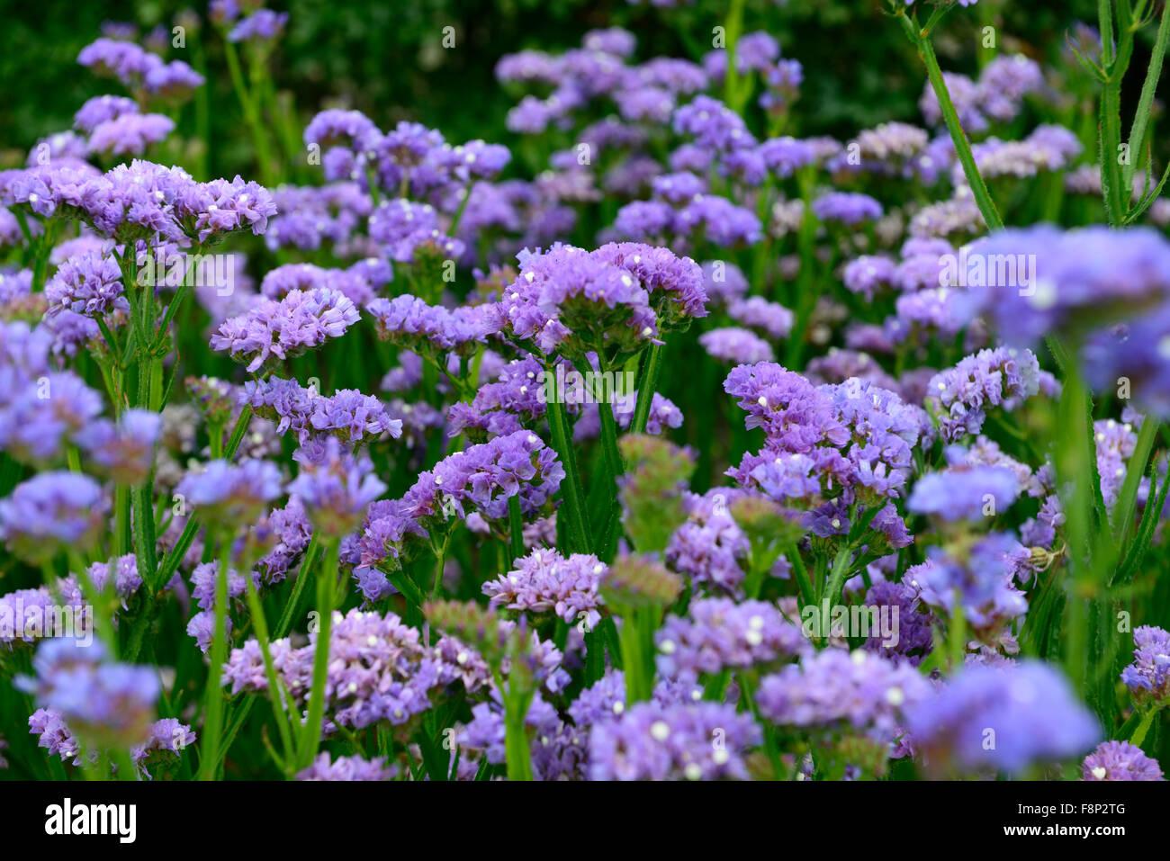 limonium sinuatum sky blue Statice annual annuals flowers flowering Stock Pho