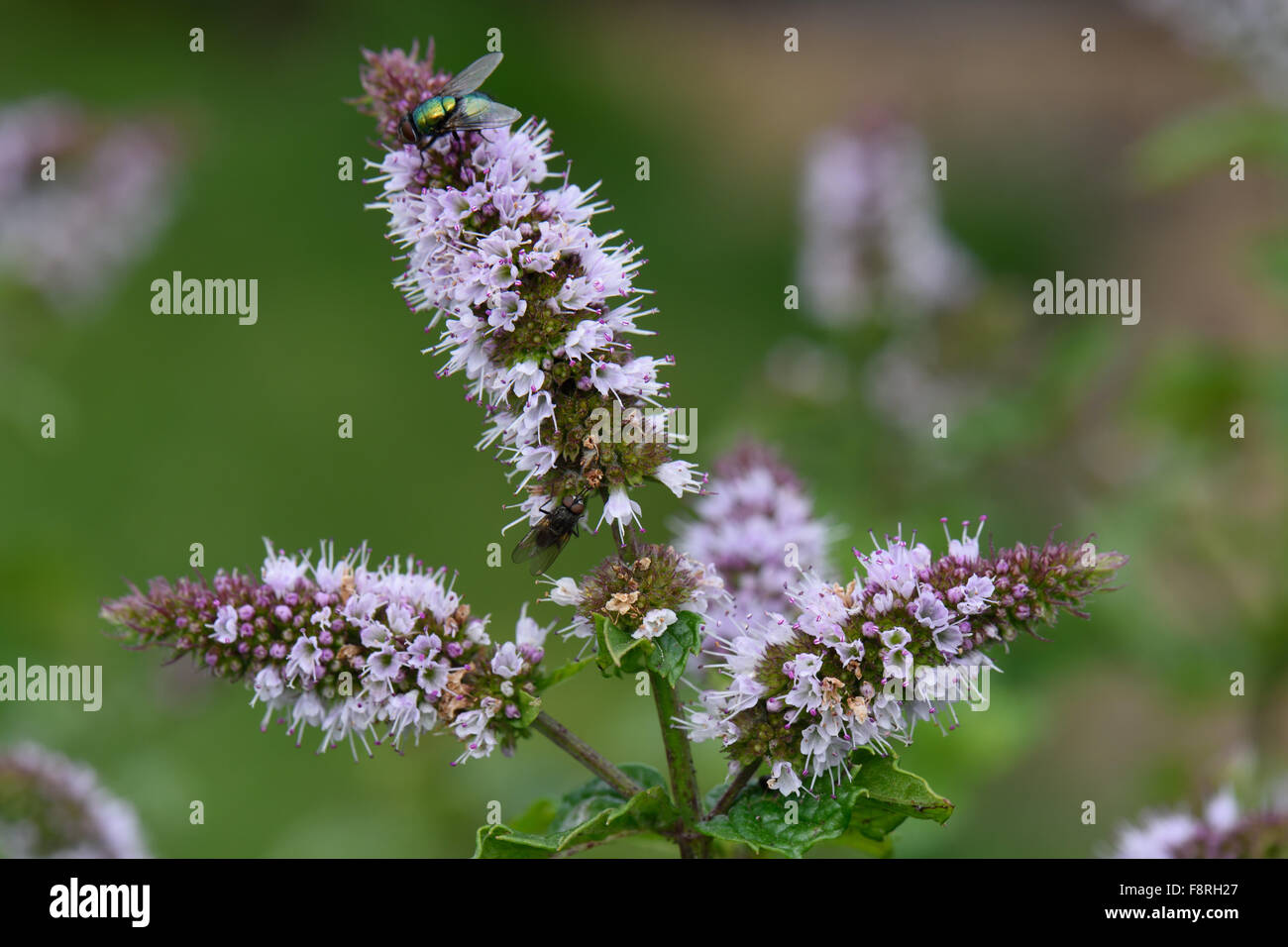 Spearmint, Mentha spicata, flower of mint herb used in ...
