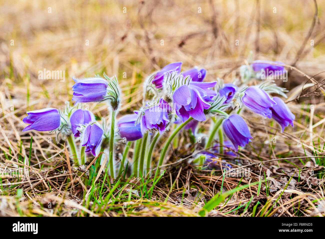 Wild spring flowers pulsatilla patens flowering plant in family wild spring flowers pulsatilla patens flowering plant in family ranunculaceae native to europe russia mongolia china canad dhlflorist Gallery