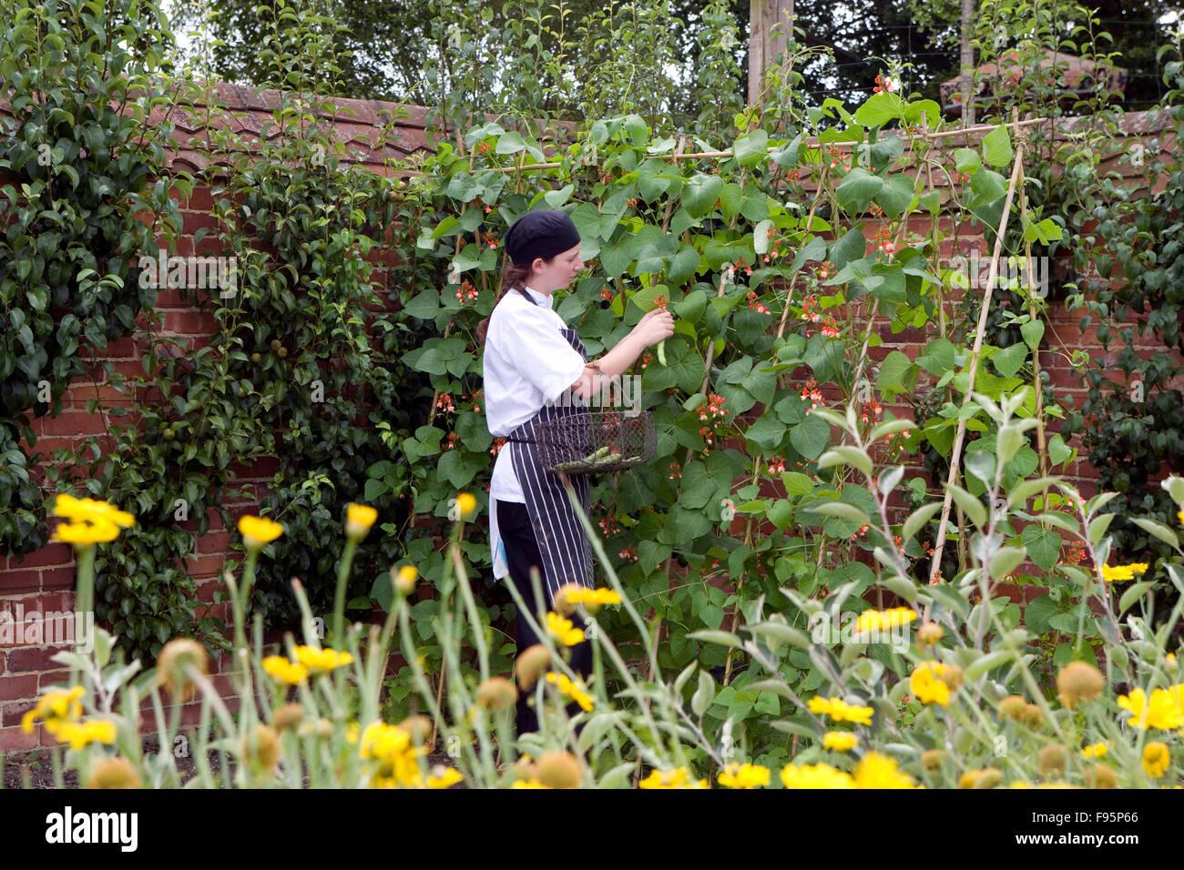 Kitchen Garden Vegetables Chef Picking Vegetables In Kitchen Garden Stock Photo Royalty