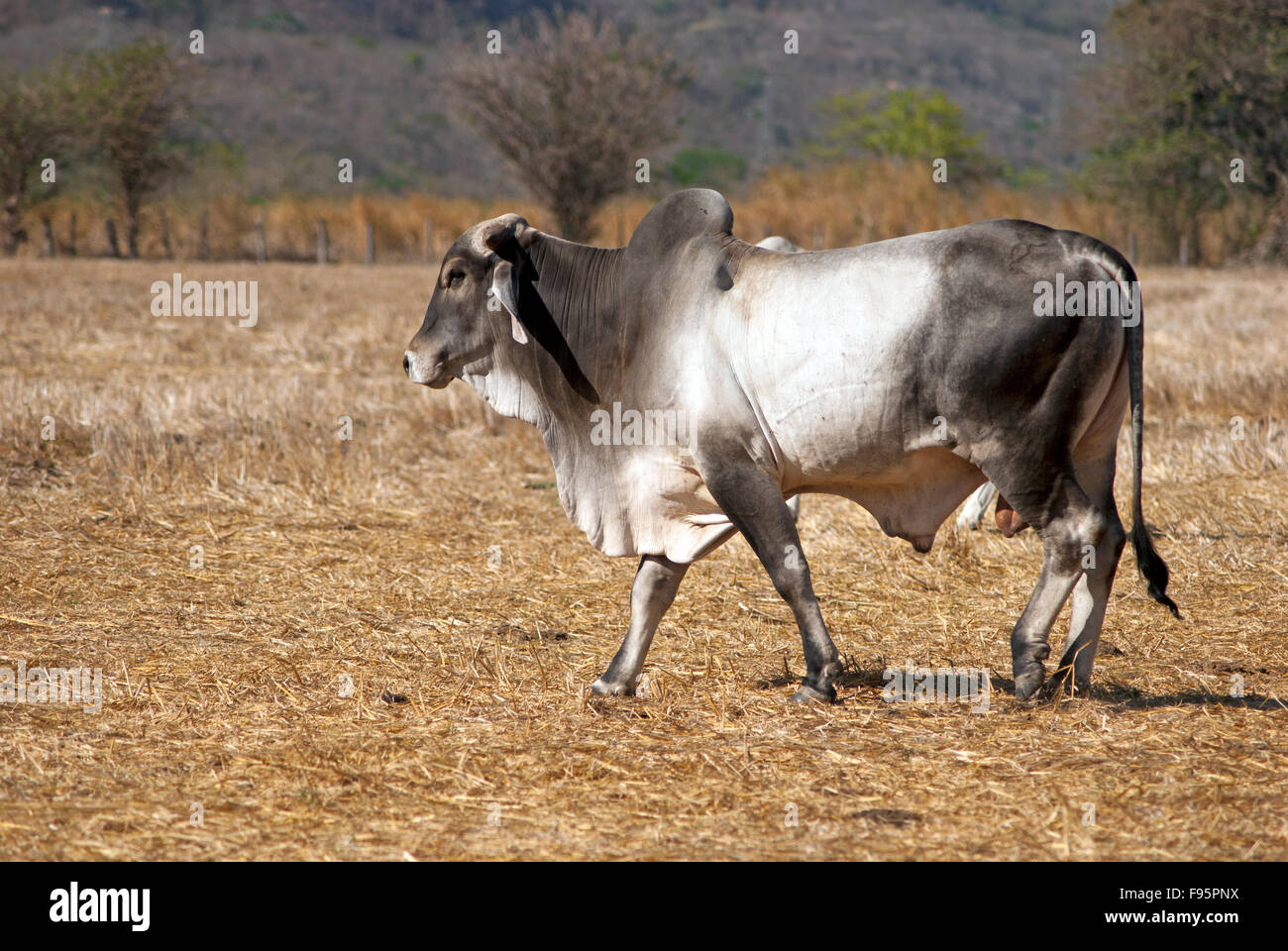 Pictures of brahma bulls Miniature Cattle Breeds for home meat production