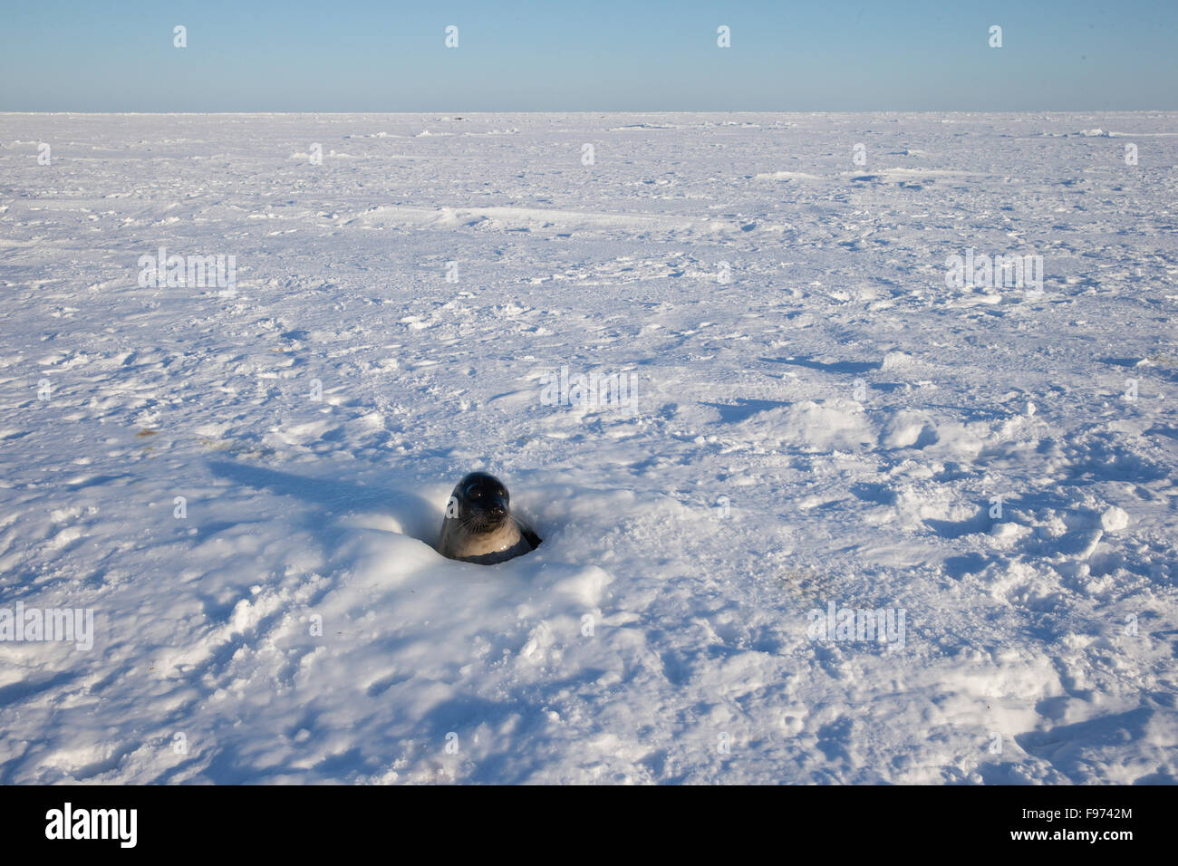 Baby Harp Seal Gulf Of St Lawrence