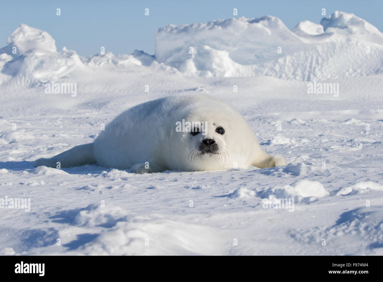 Baby Harp Seal Pup   Harp seal pups about a week old- Gulf of St ...