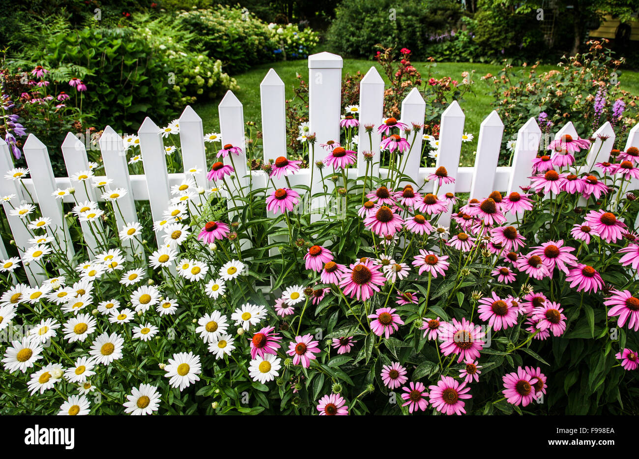 Beautiful English Garden Border With Purple Cone Flowers, Daisies Along A White  Picket Fence, New Jersey, USA