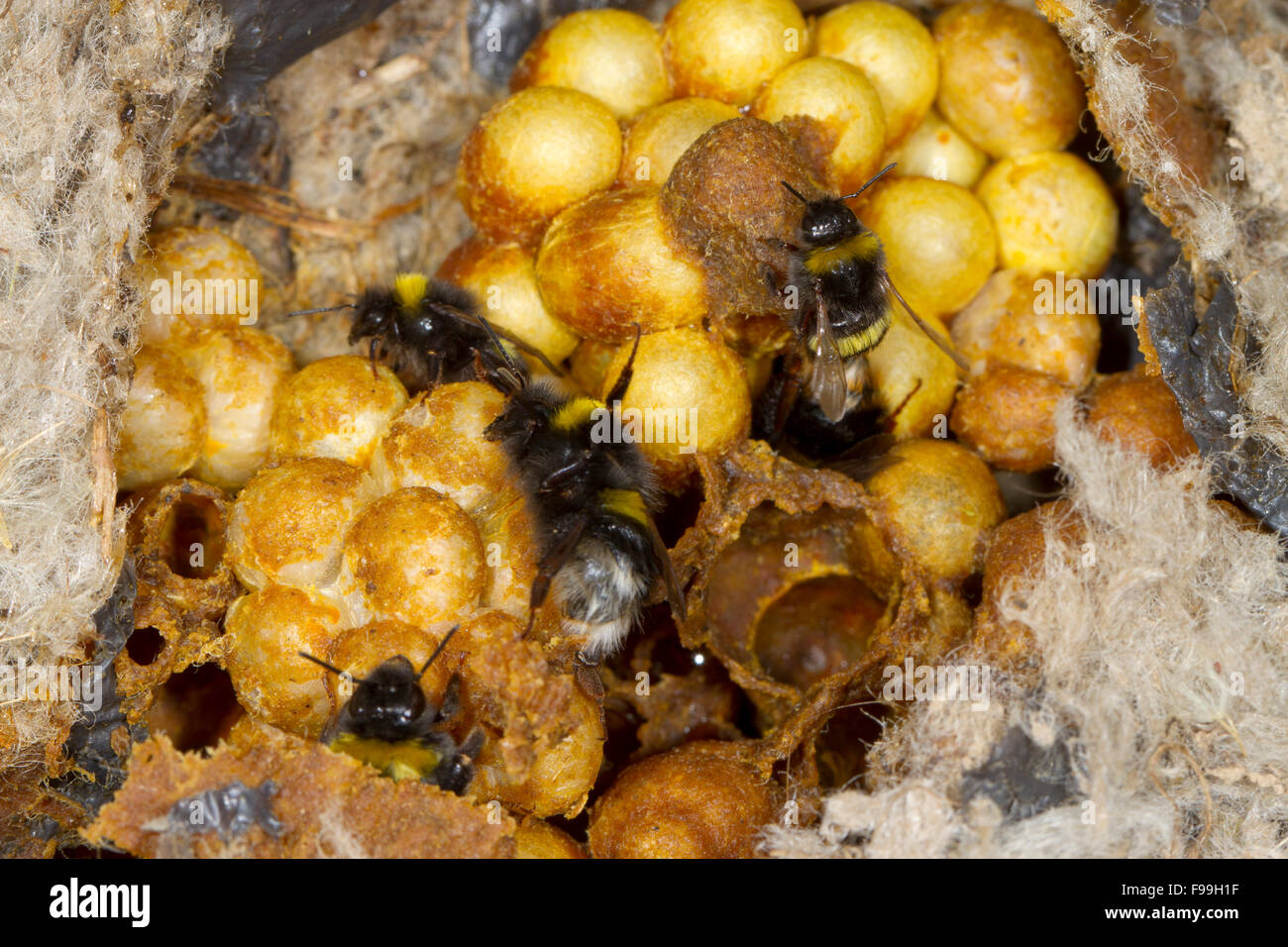 buff tailed bumblebee bombus terrestris nest with queen and