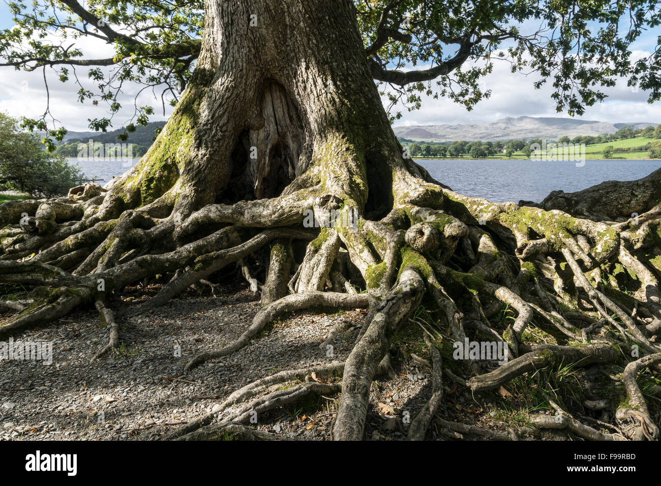 Oak Tree With Roots Large Oak tree roots a...