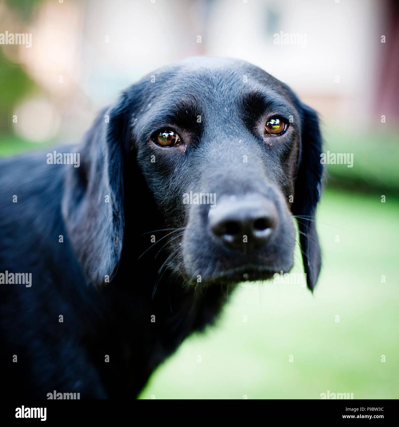 sad black dog is looking at the camera stock photo, royalty free