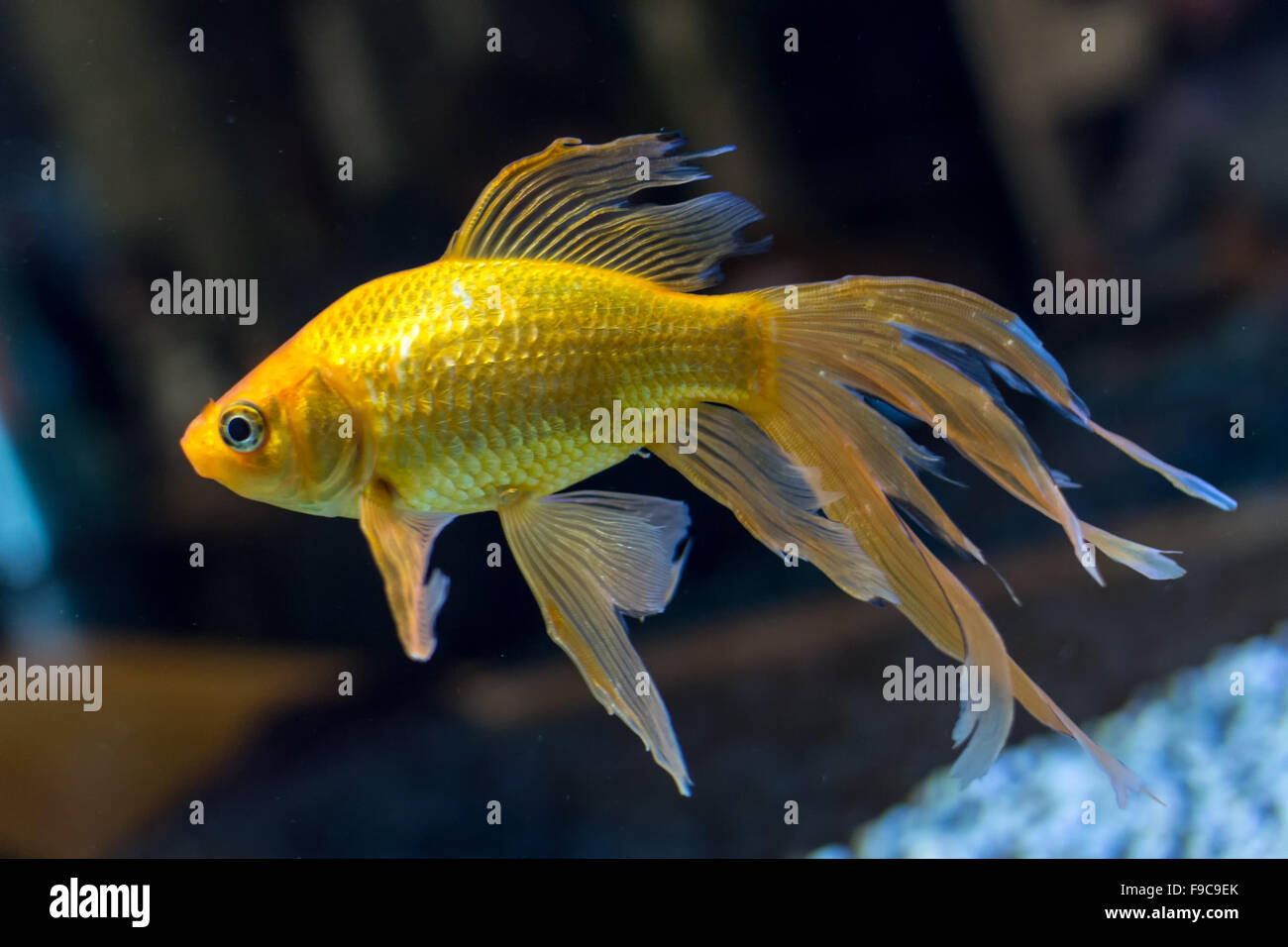 Fish in tank with goldfish - Closeup Of A Single Fantail Goldfish Swimming In A Fish Tank Stock Image