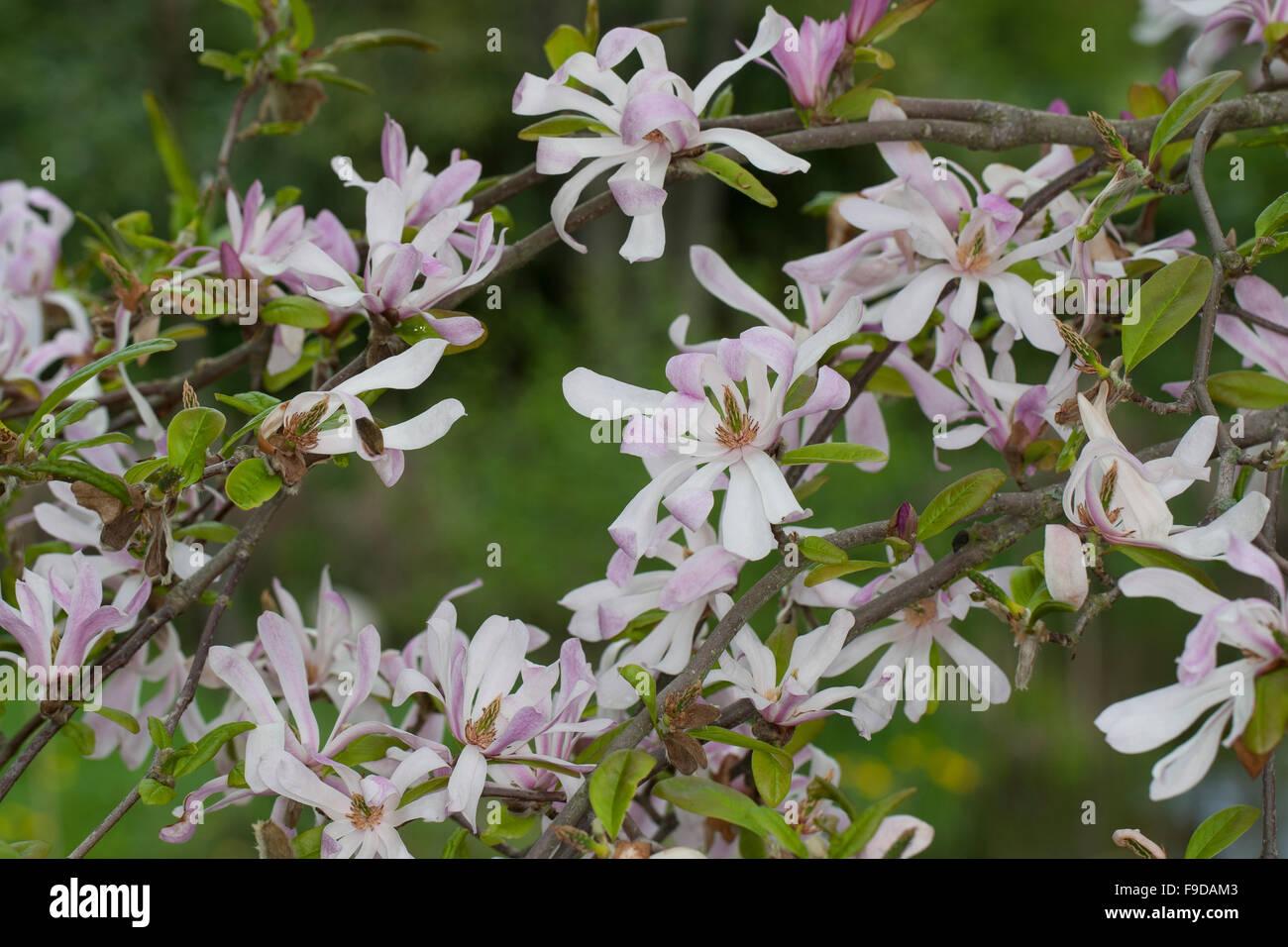magnolia rosa sternmagnolie magnolie magnolien. Black Bedroom Furniture Sets. Home Design Ideas