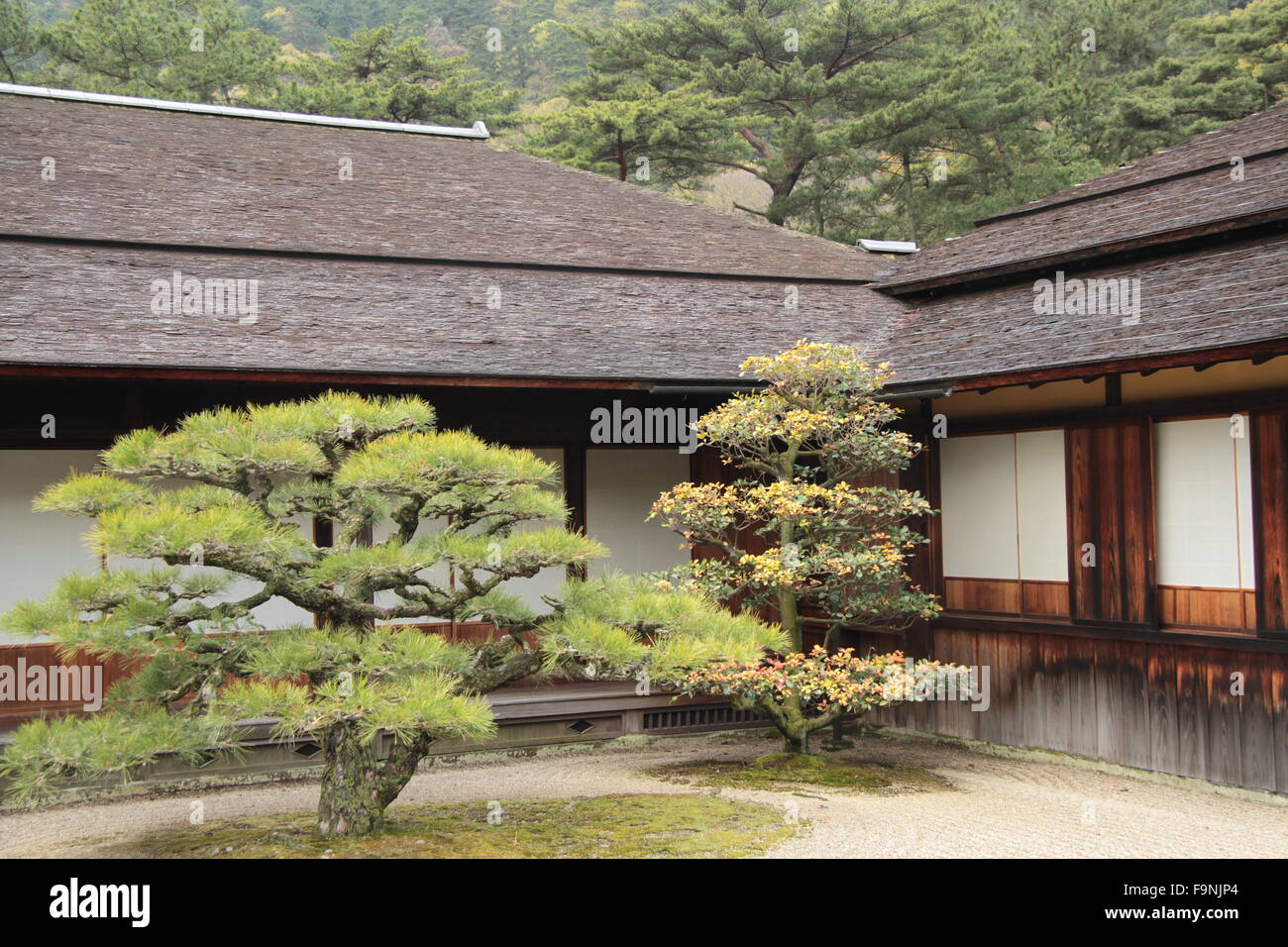 pine trees in front of traditional Japanese house Stock Photo
