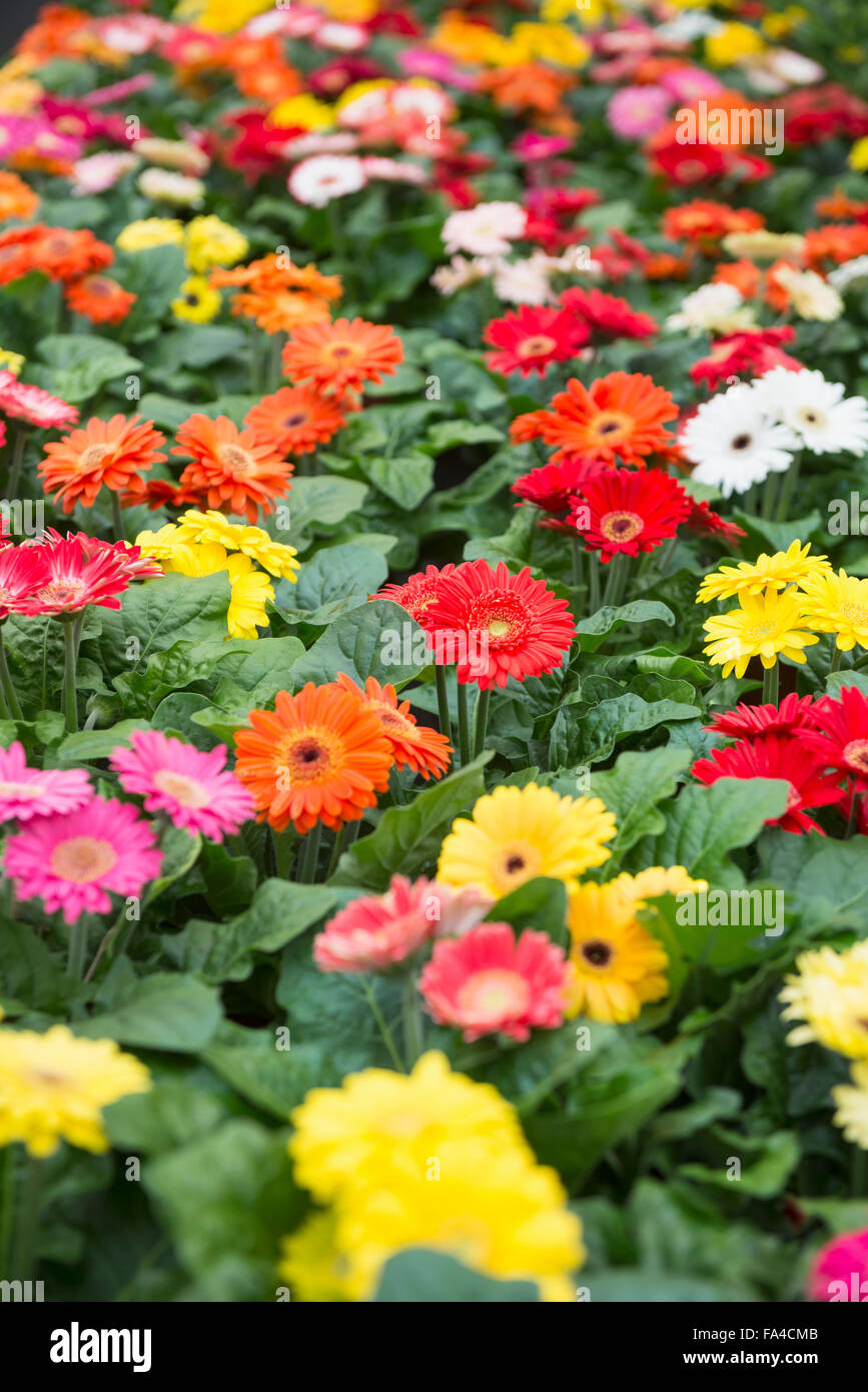 Daisy flowers for sale in garden centre augsburg bavaria germany daisy flowers for sale in garden centre augsburg bavaria germany izmirmasajfo Images