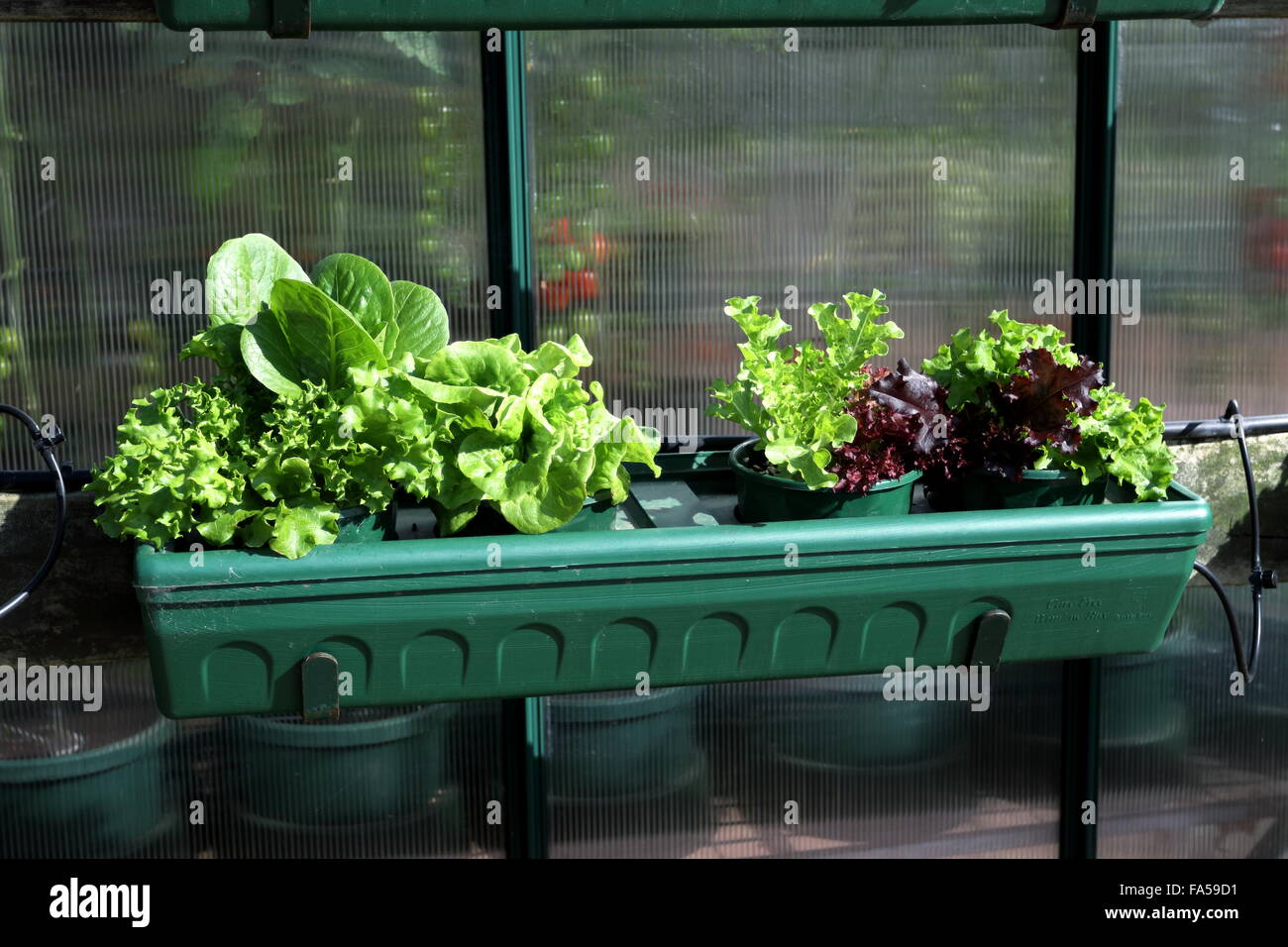 Growing lettuce in a pot - Growing Different Variety Of Lettuce Plant In A Pot