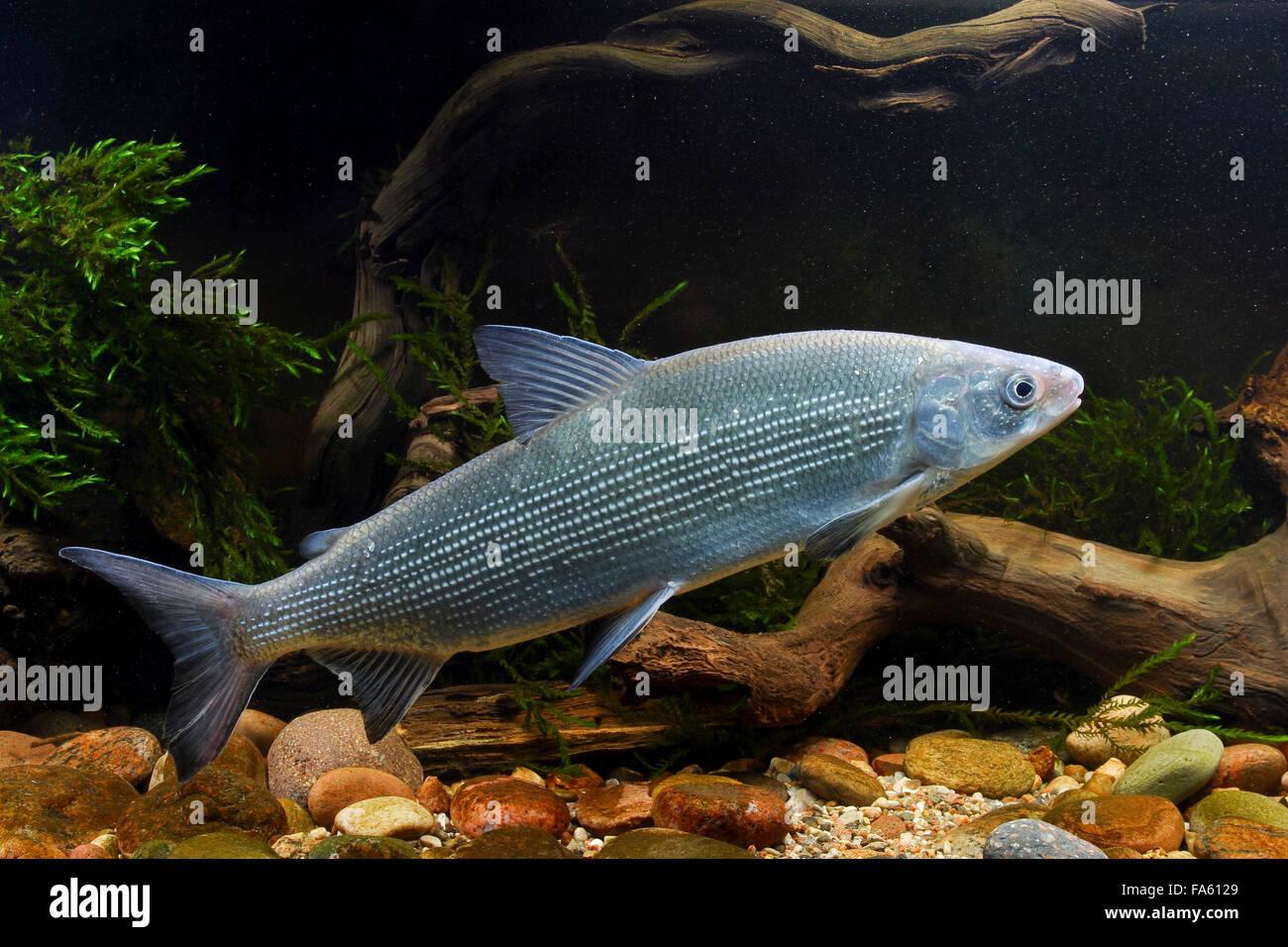 Excellent Freshwater Houting Powan Whitefish Groe Marne Groe Schwebrenke  Renke Kilch Coregonus Widegreni Coregonus Lavaretus With Groe