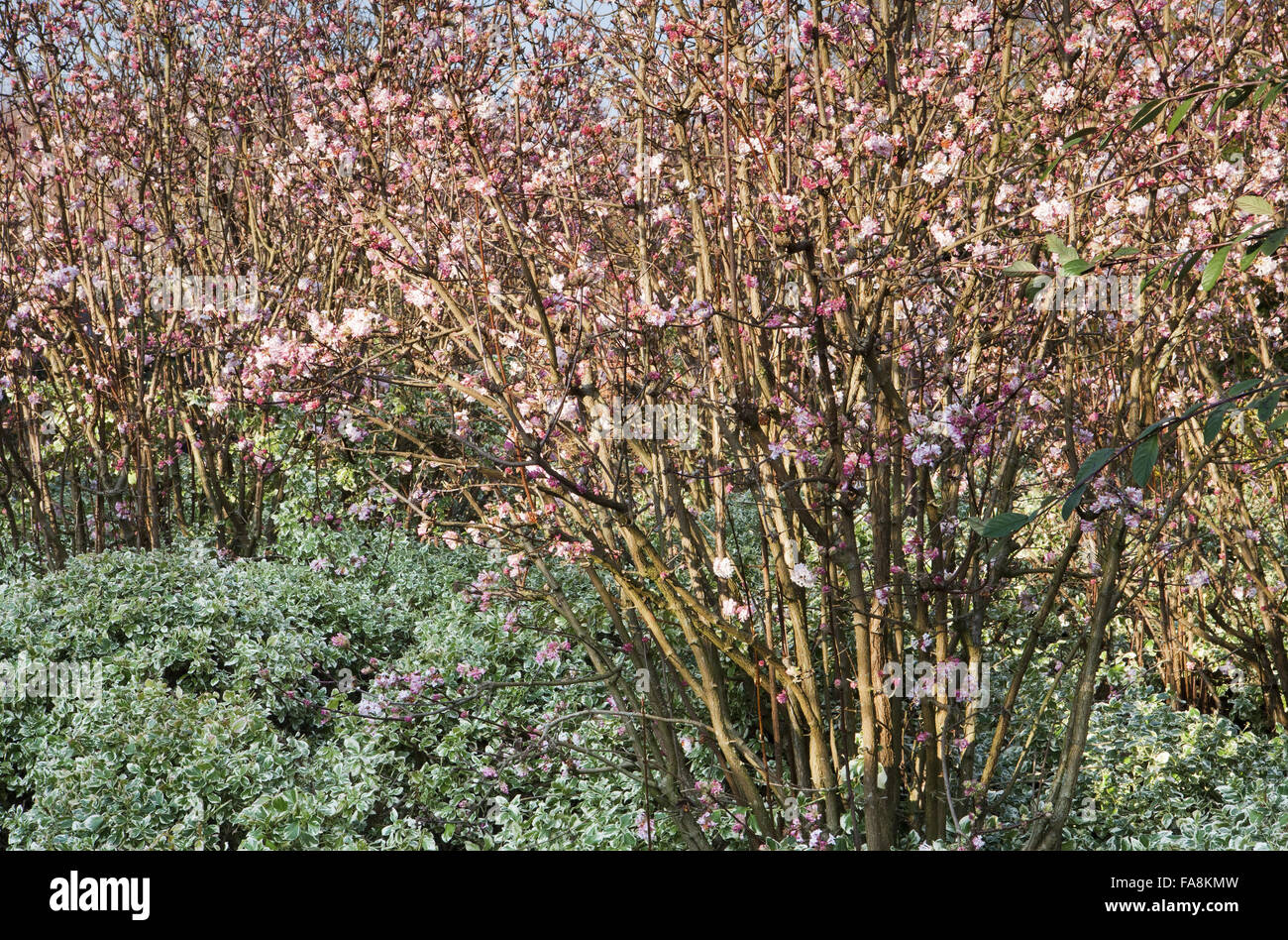 viburnum x bodnantense 39 dawn 39 and euonymus fortunei. Black Bedroom Furniture Sets. Home Design Ideas