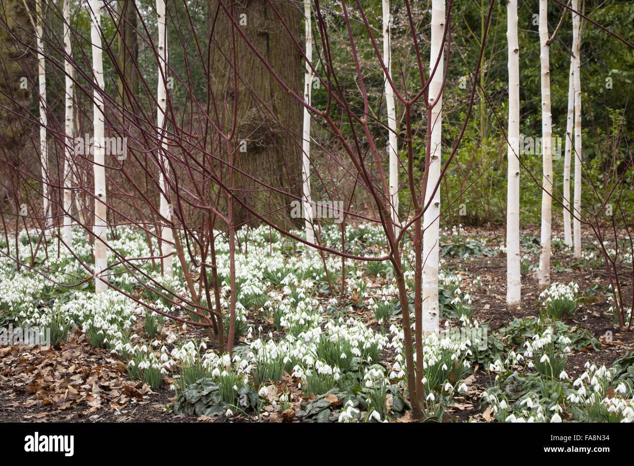 snowdrops beneath a grove of silver birch trees betula utilis var