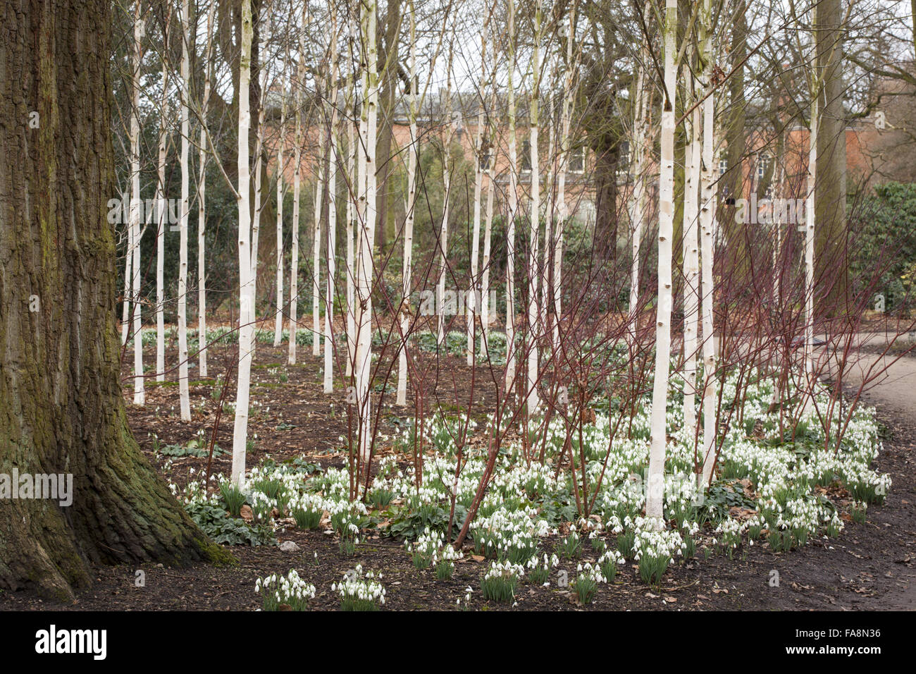 snowdrops beneath a grove of silver birch trees betula utilis var